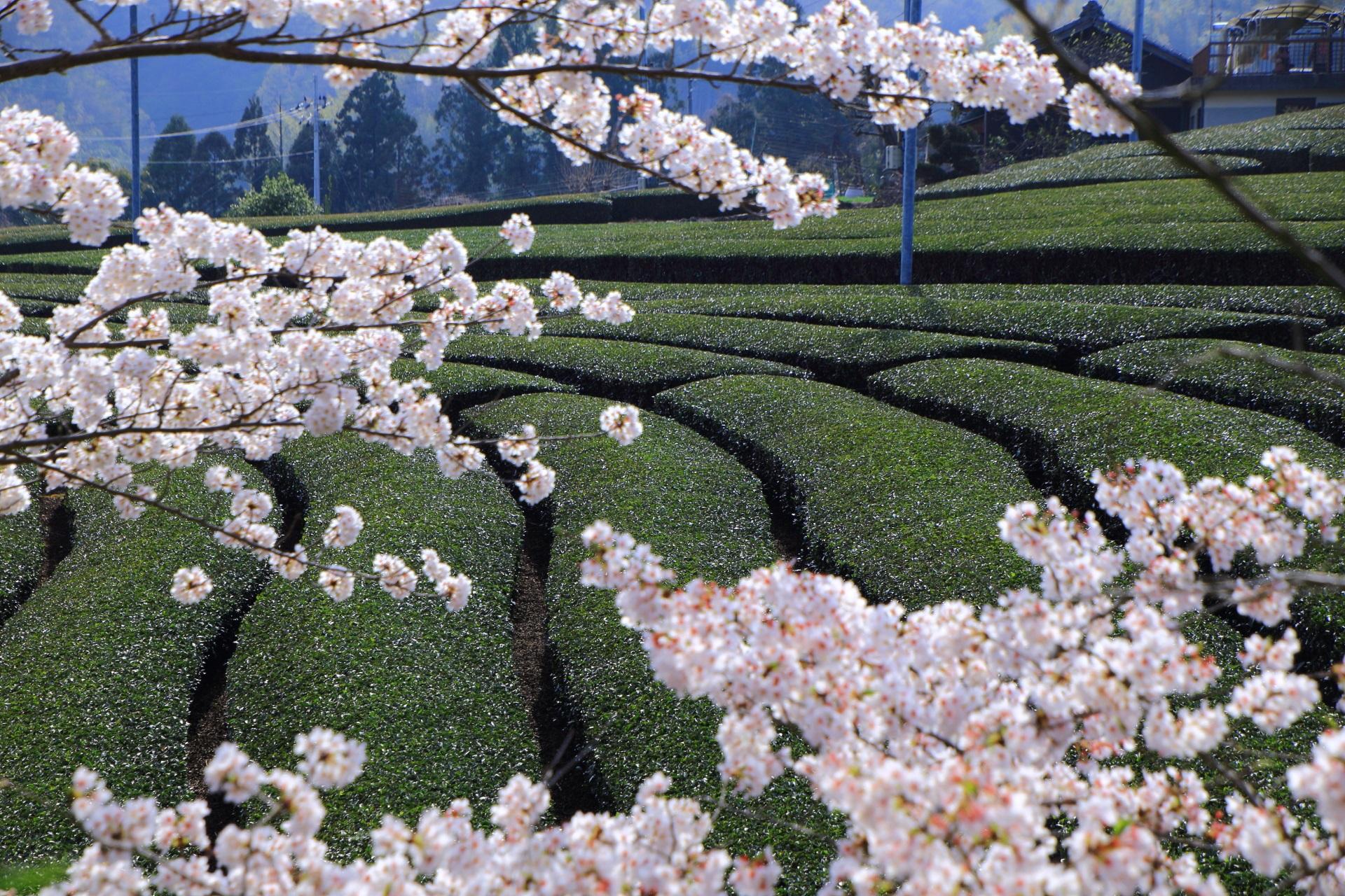 高画質 写真 和束町 桜