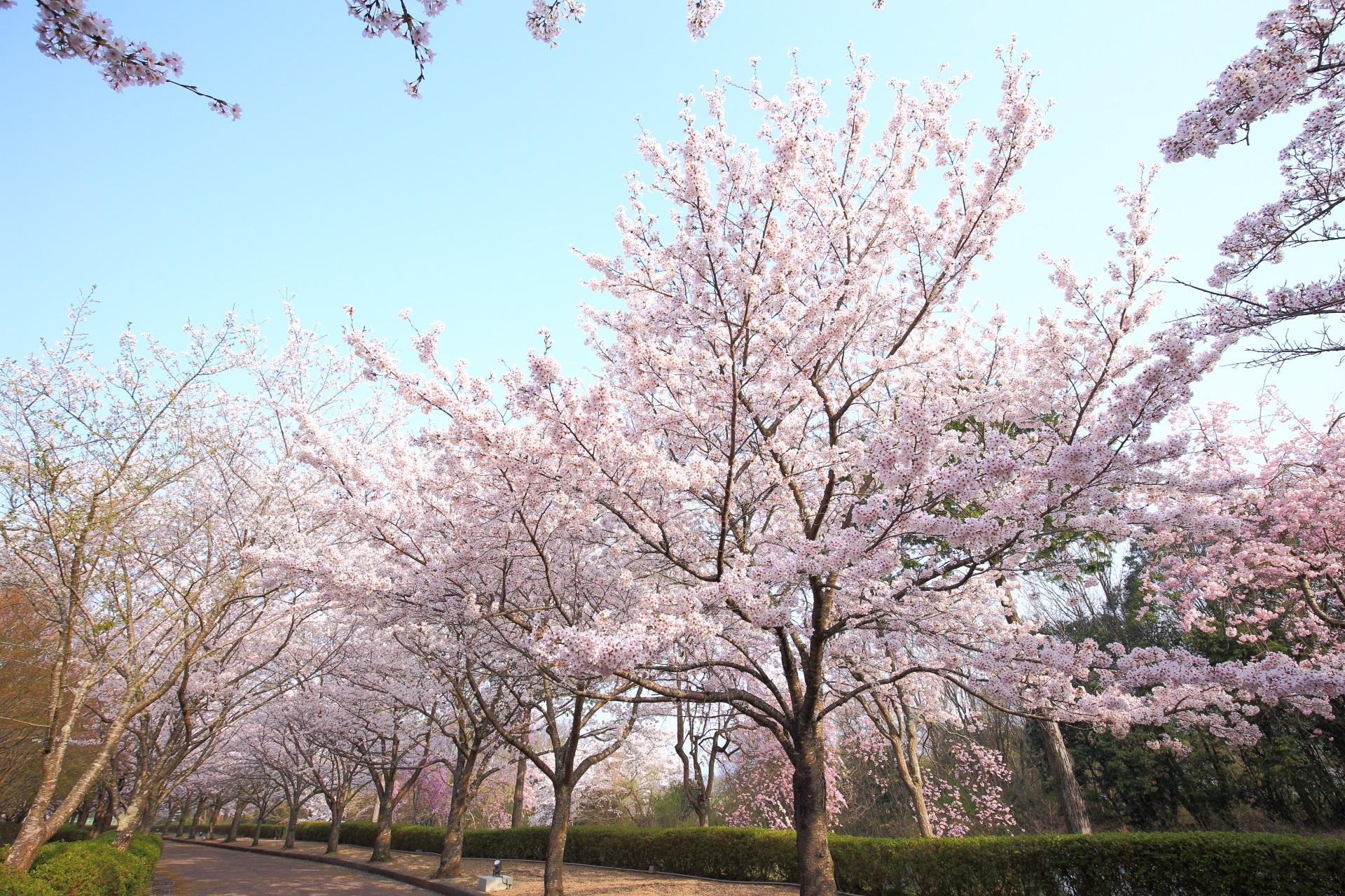 和らぎの道の煌く桜