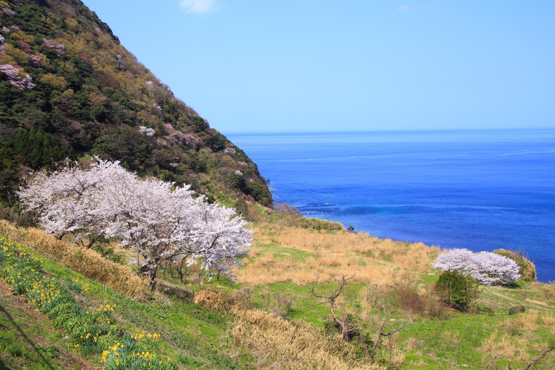 犬ヶ岬の桜