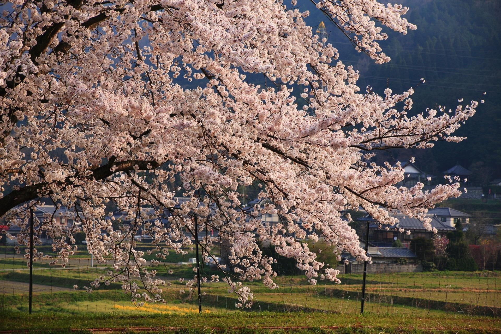 淡い朝の光を浴びる花をいっぱいつけた桜