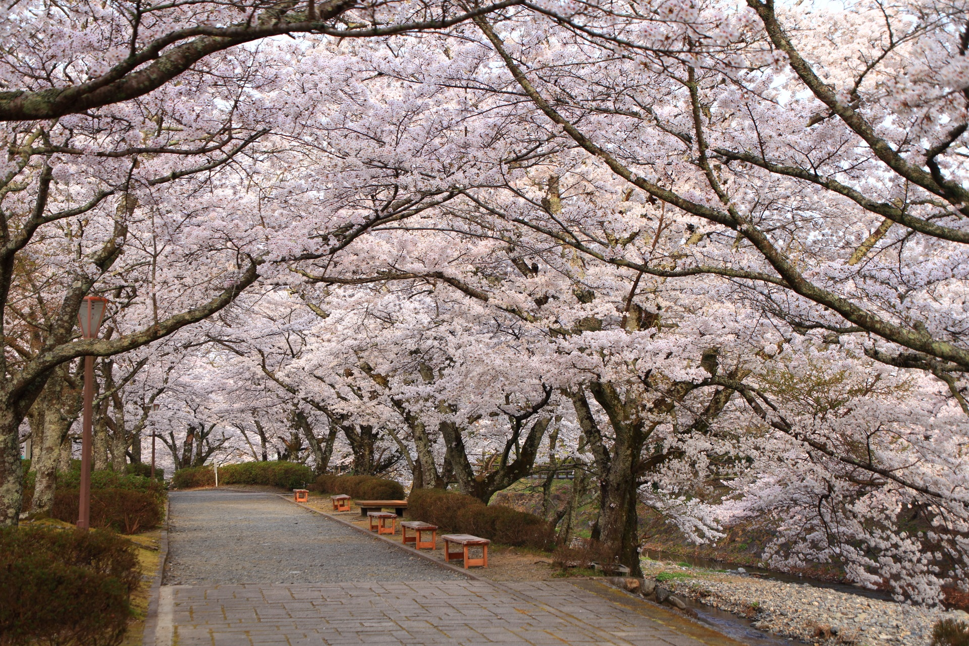 七谷川と和らぎの道は亀岡の桜の名所