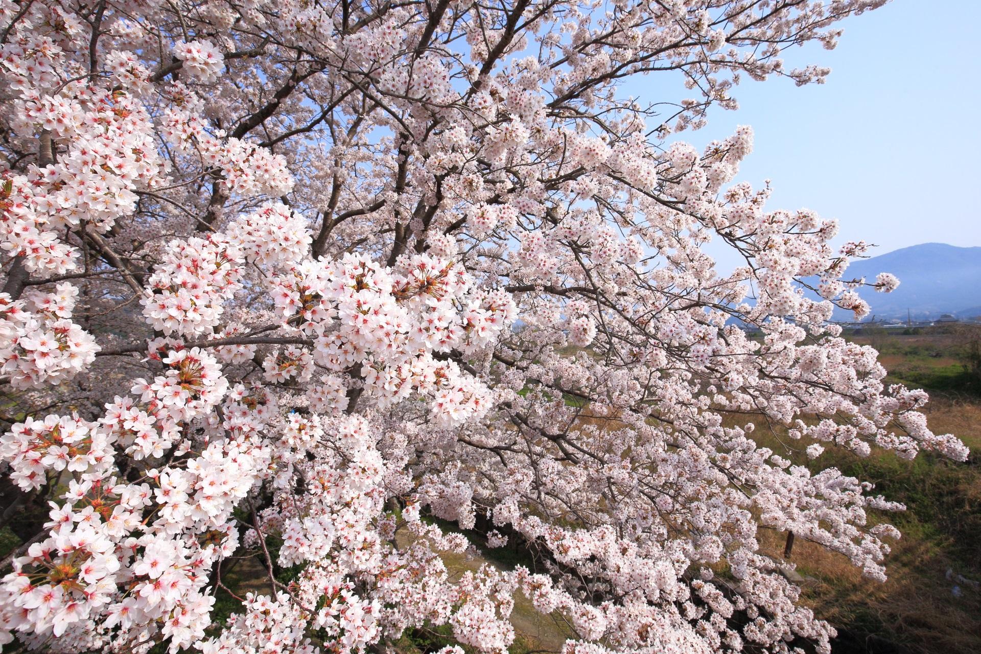 亀岡の弾けんばかりの圧巻の桜