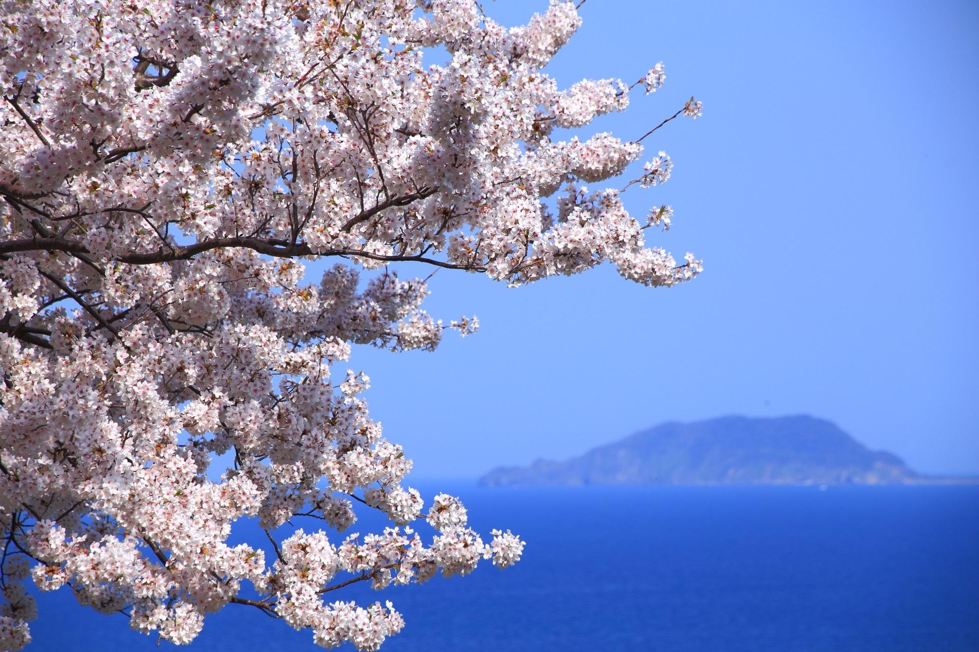 冠島を彩る絶品の桜