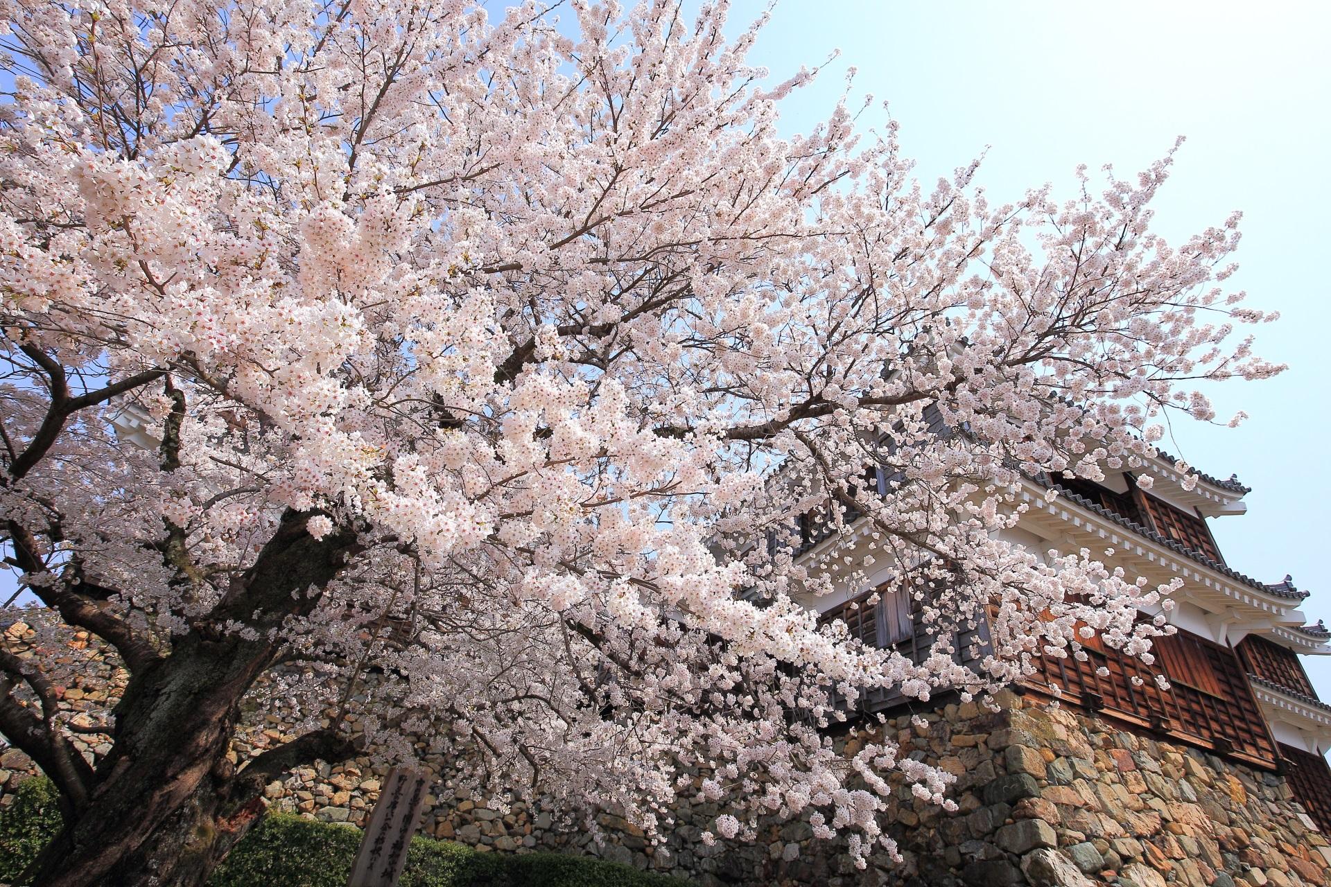 高画質 福知山城 桜 写真