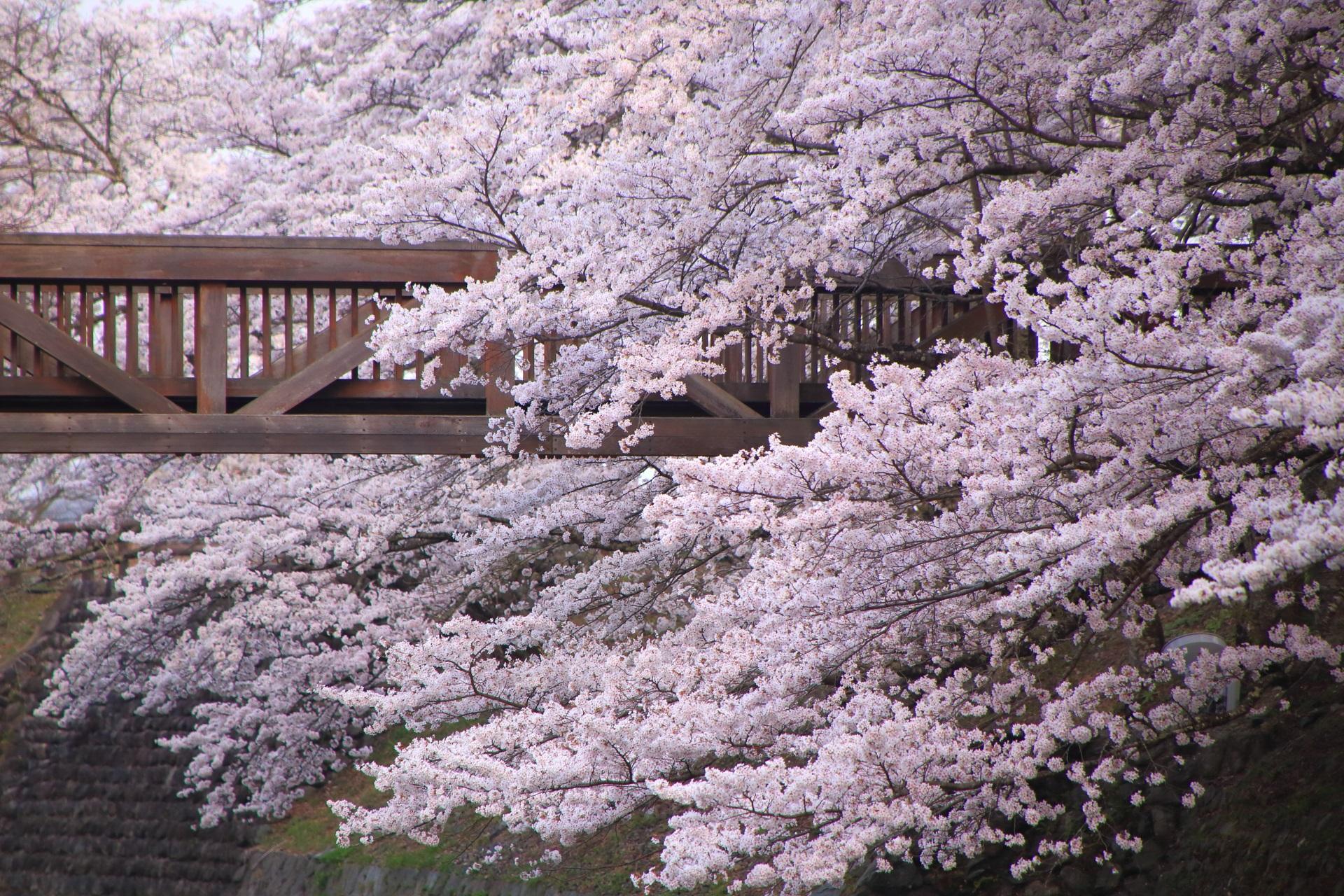 七谷川の怒涛の桜