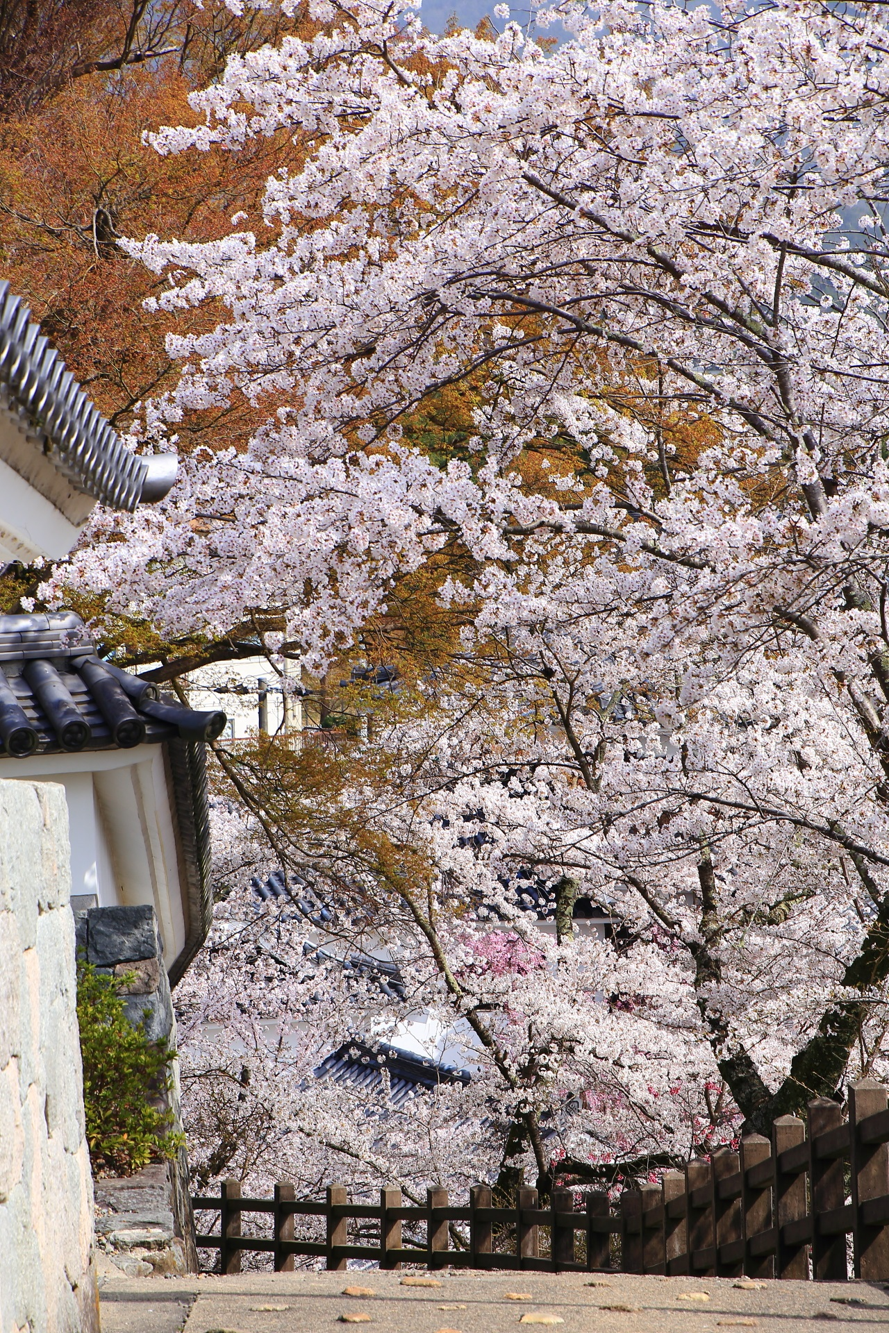 福知山城の豪快に咲き誇る桜