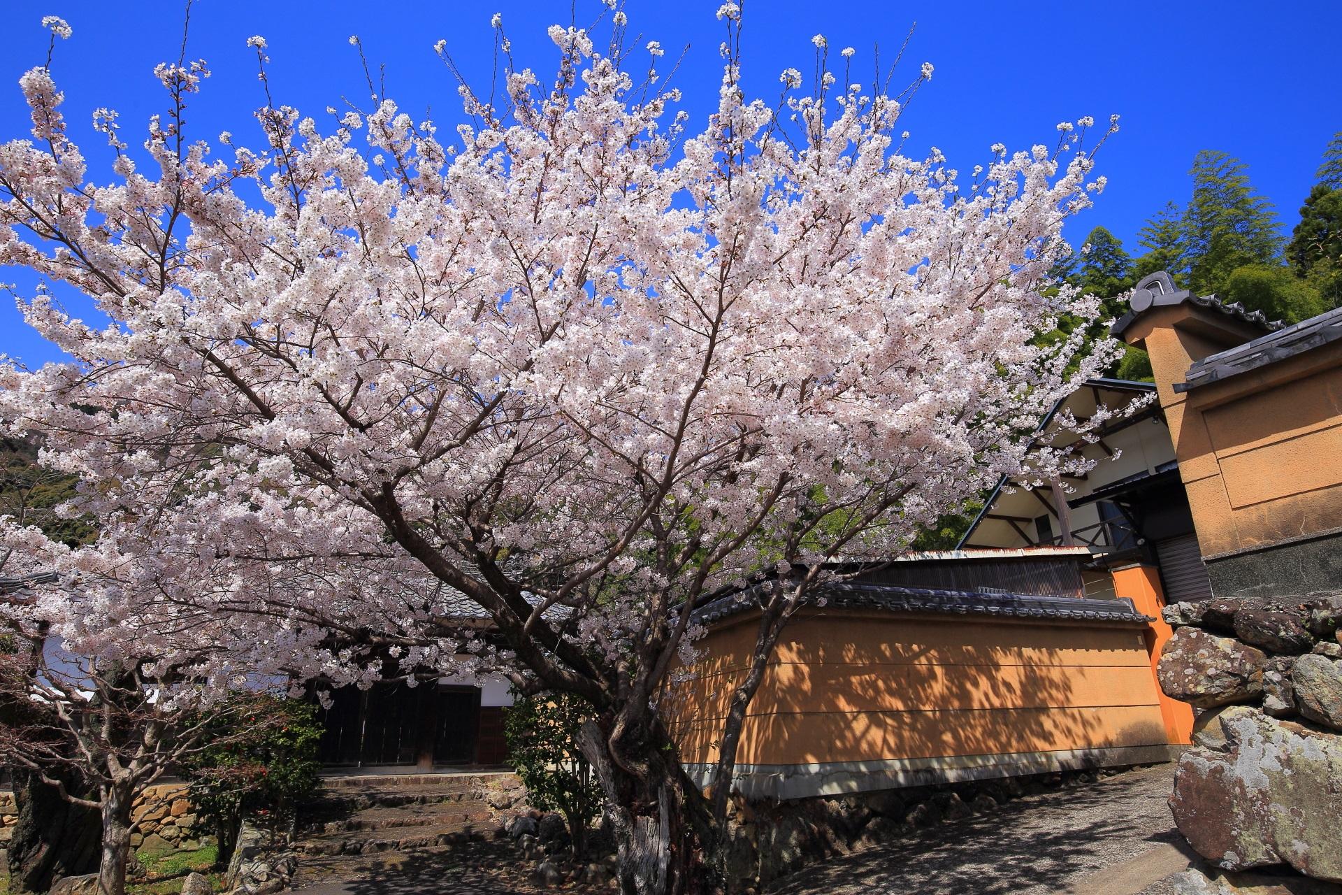 願徳寺のいっぱい花をつけた満開の桜