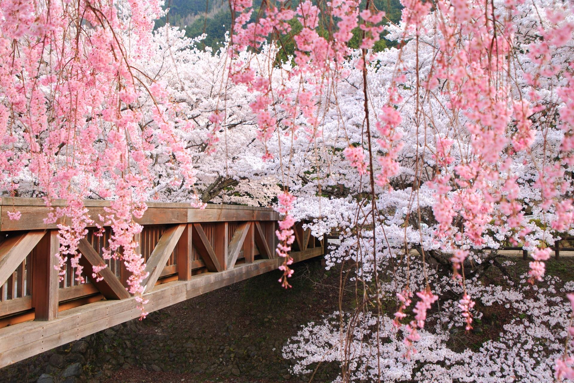 七谷川の華やかなソメイヨシノと春風に揺らぐしだれ桜