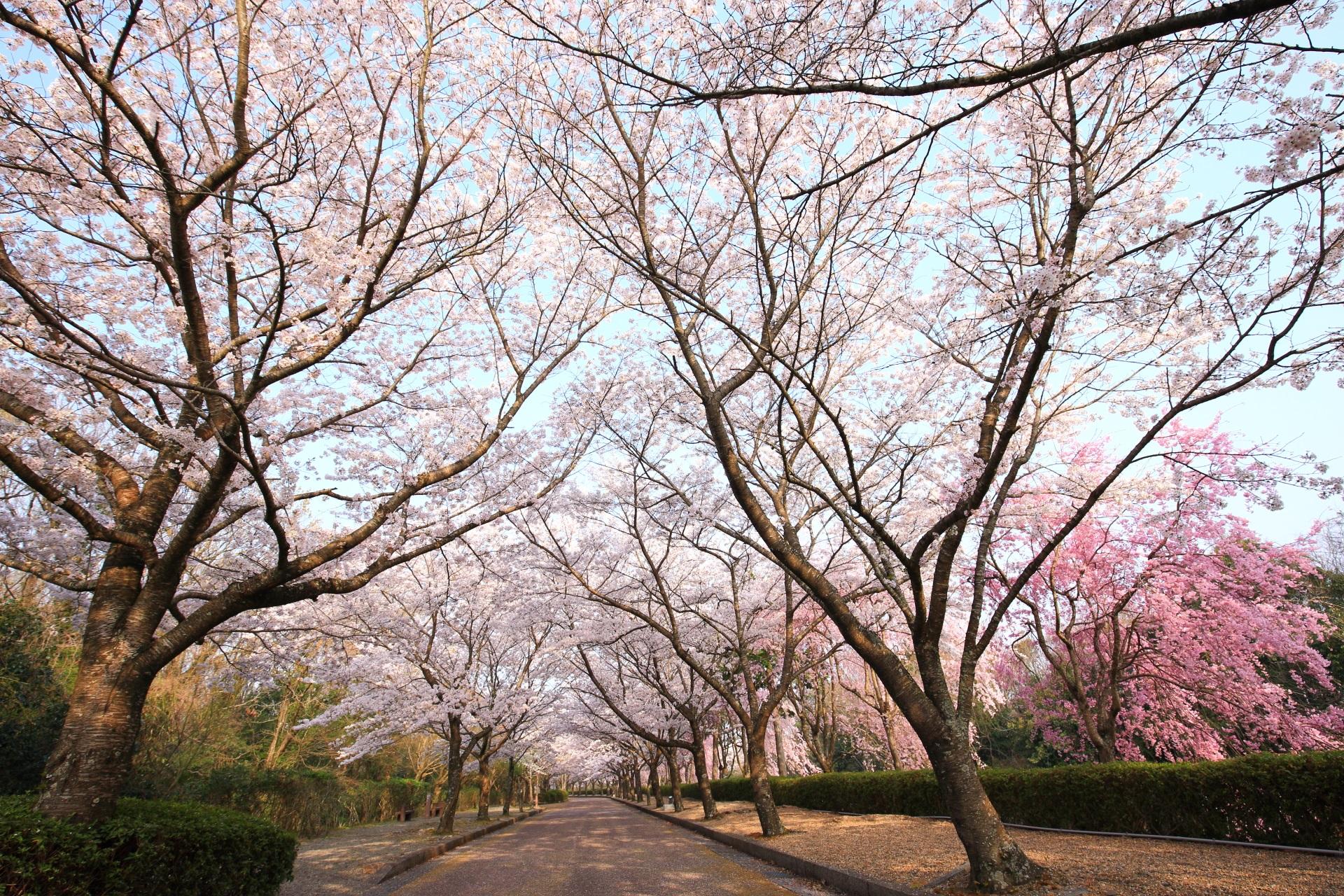 和らぎの道の華やかな桜の天井