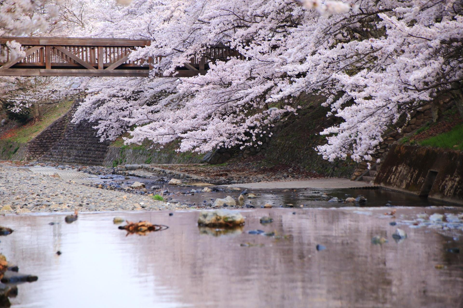 京都市内と比べると人が少ない隠れた桜の名所の七谷川