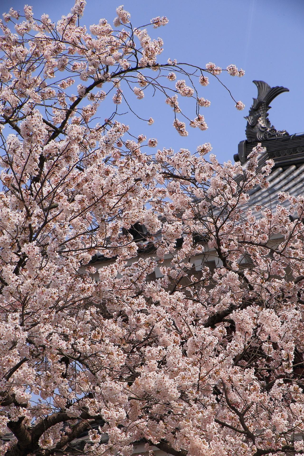 福知山城の天守としゃちほこを染める煌びやかな桜