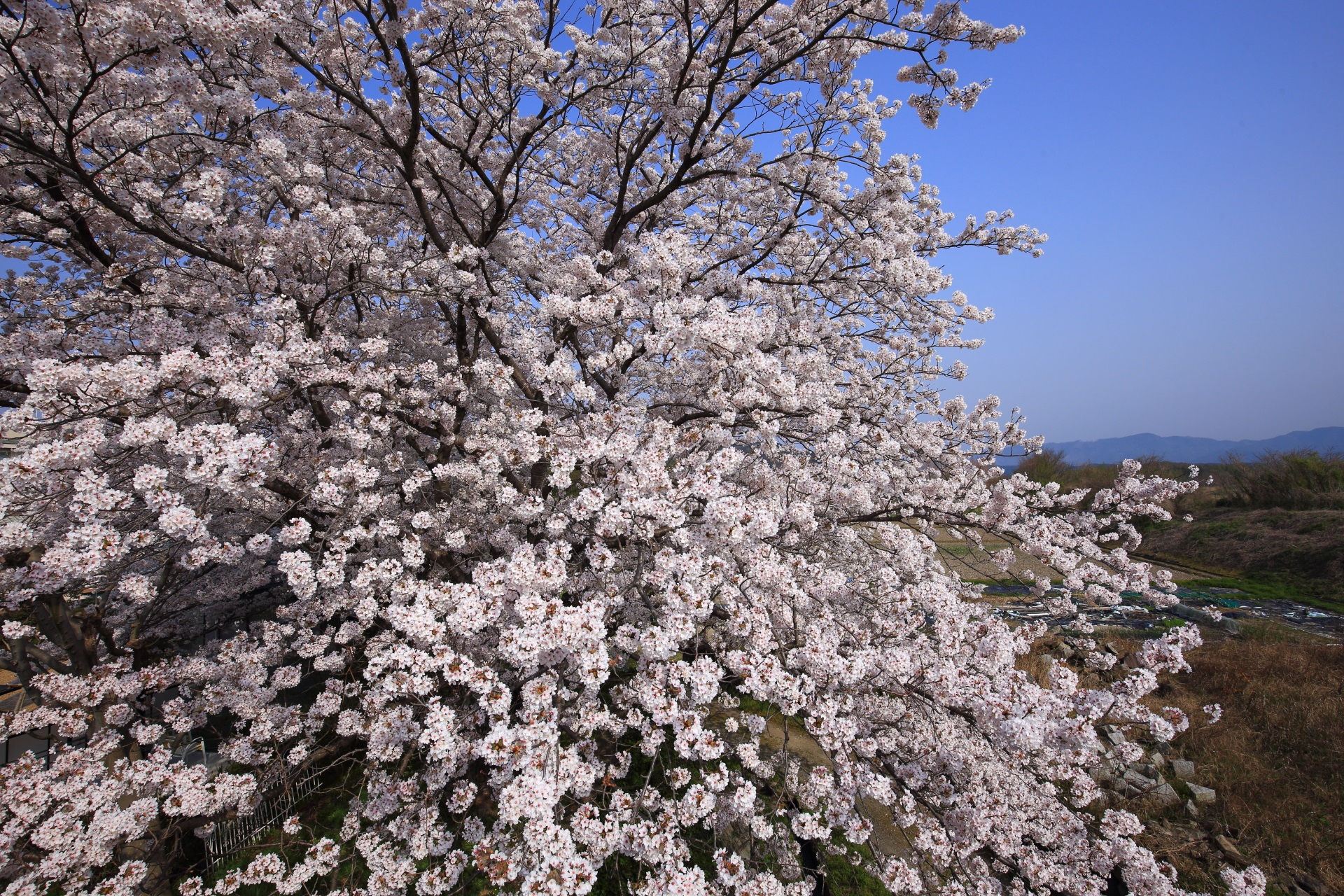 千代川の青空に映える華やかな桜