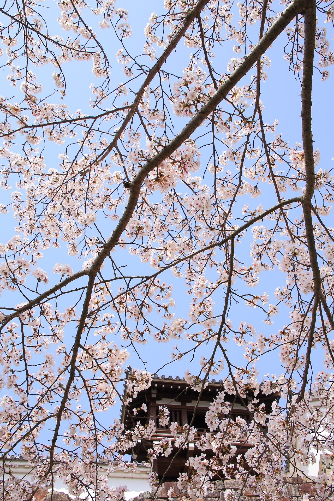 福知山城の釣鐘門と青空を覆う桜