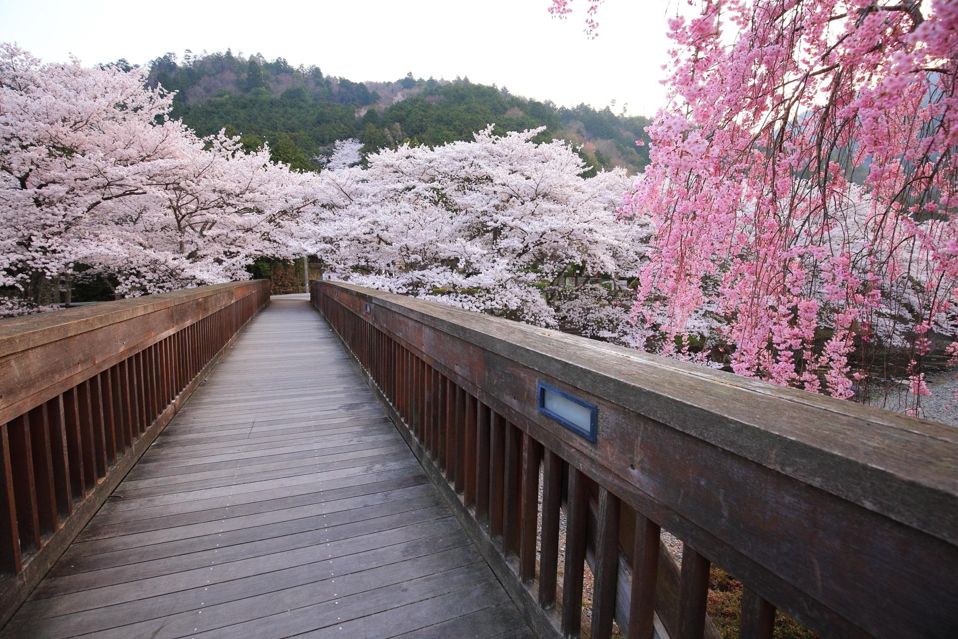七谷川の情緒ある白とピンクの春色