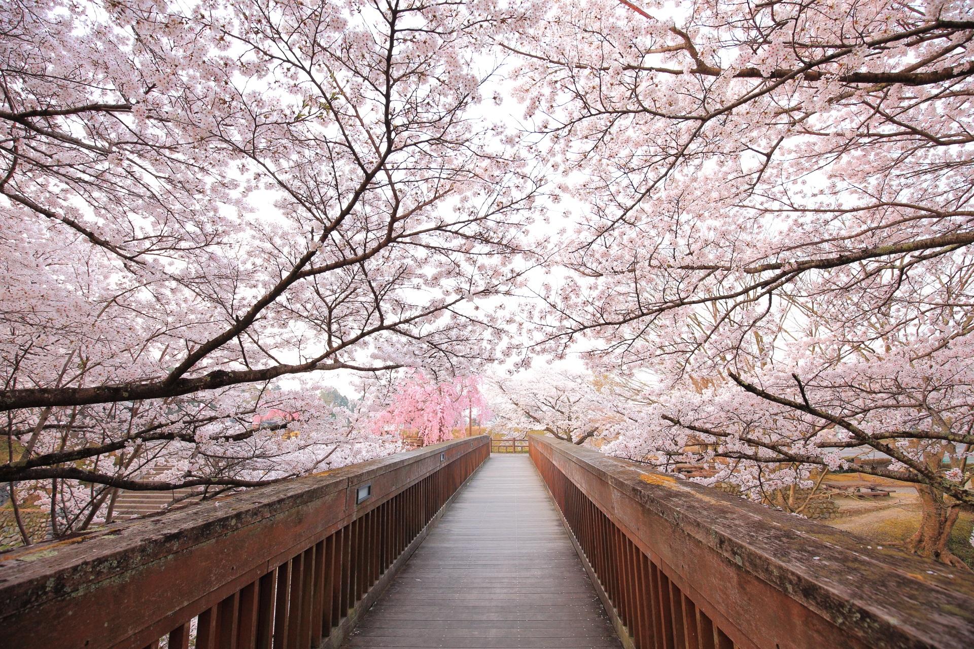 七谷川の桜につつまれた風情ある木の橋