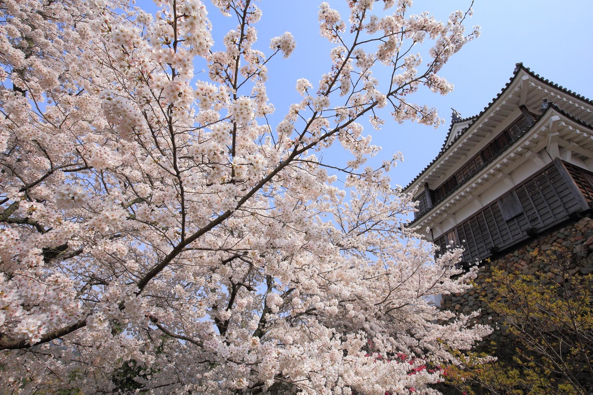 福知山城の天守と弾けんばかりの桜