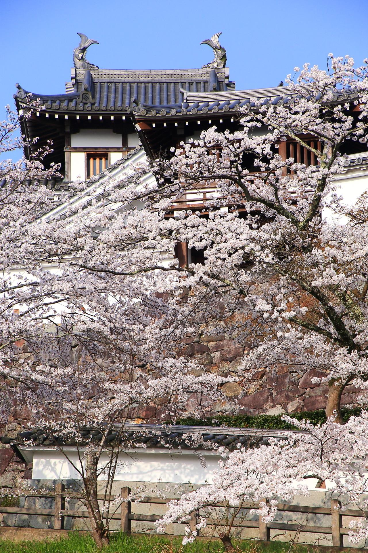 弾ける桜と福知山城の鯱(しゃちほこ)を乗せた天守