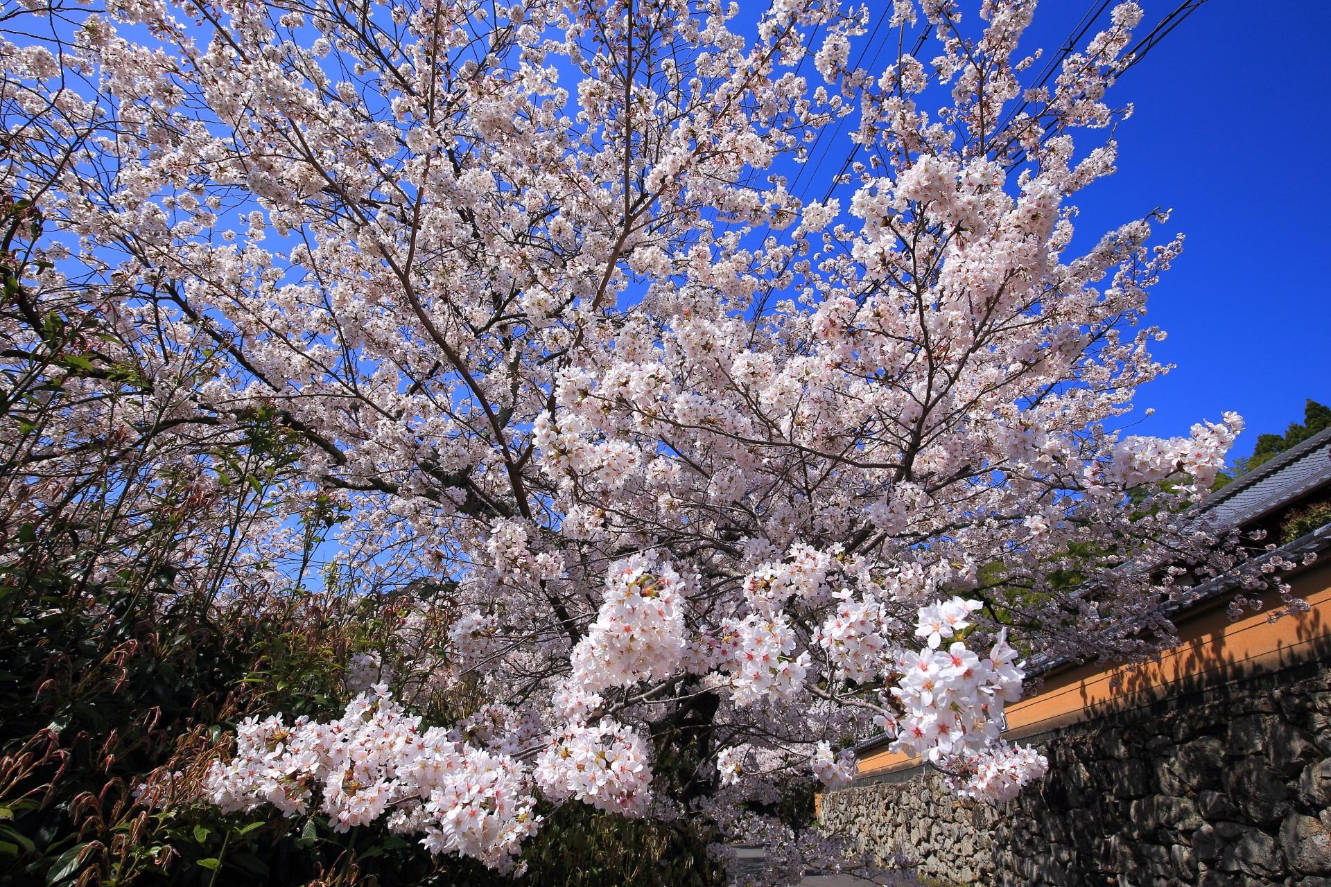 願徳寺の弾けんばかりの煌びやかな桜