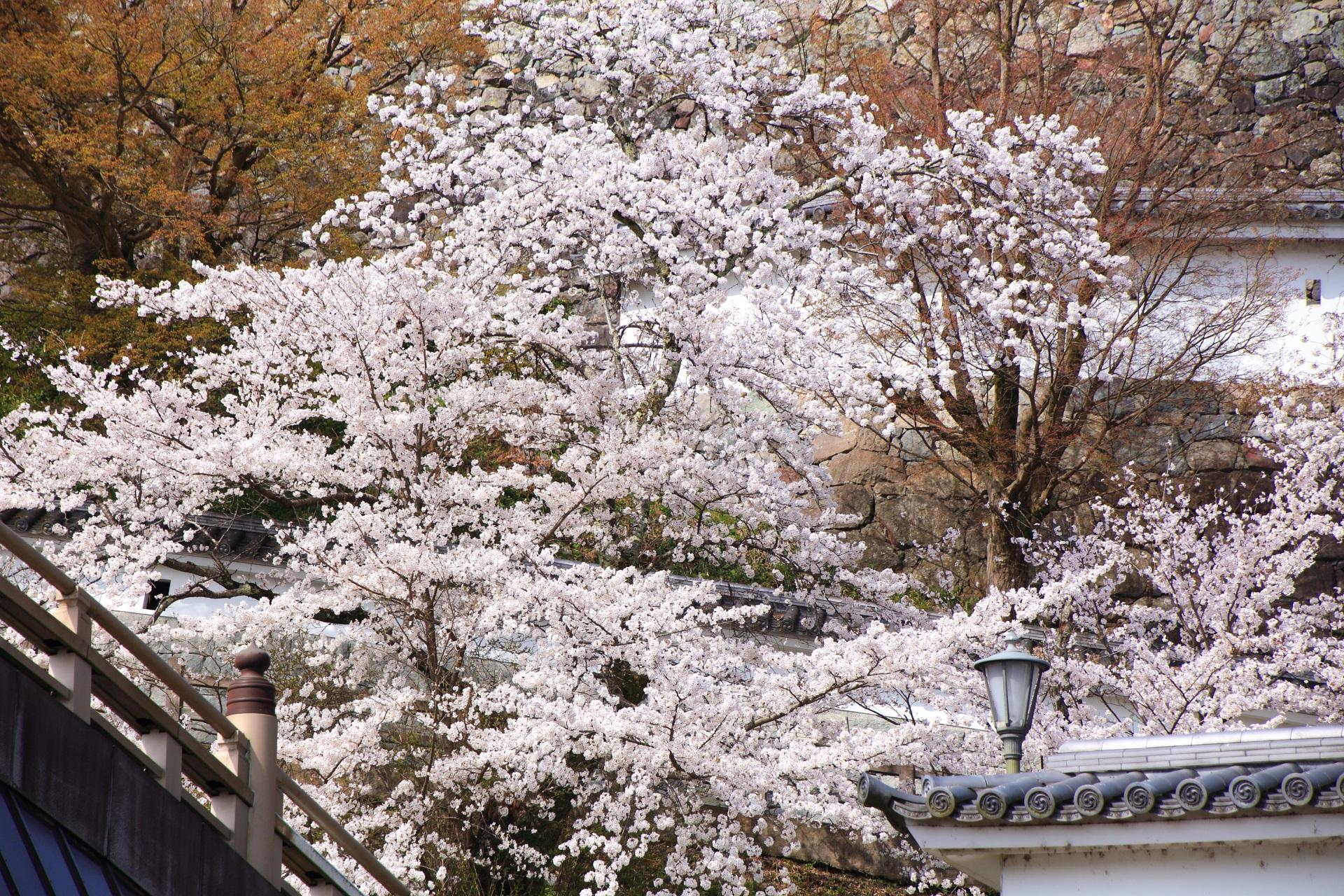 福知山城の登城道で溢れる桜