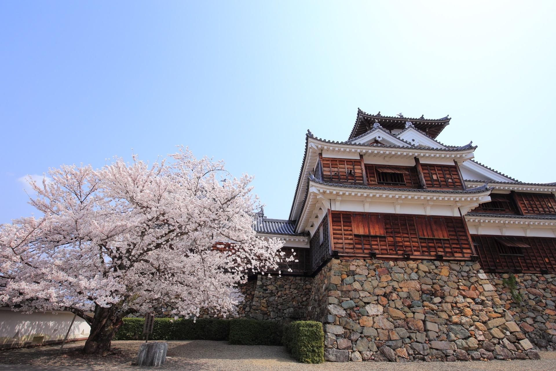 福知山城の天守と桜