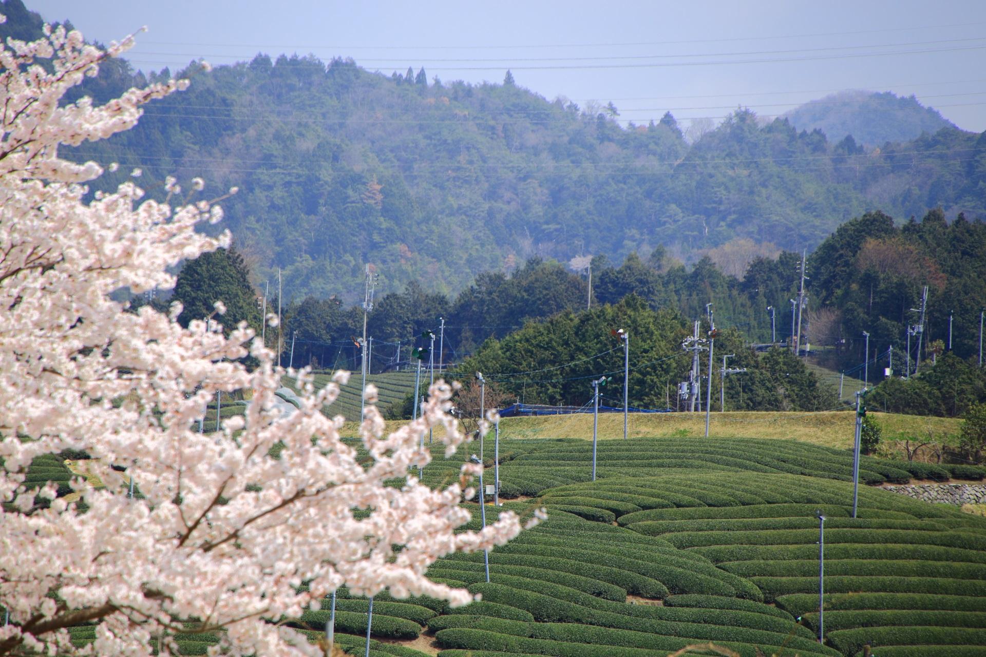 和束町の桜が演出する美しく流れるような茶畑