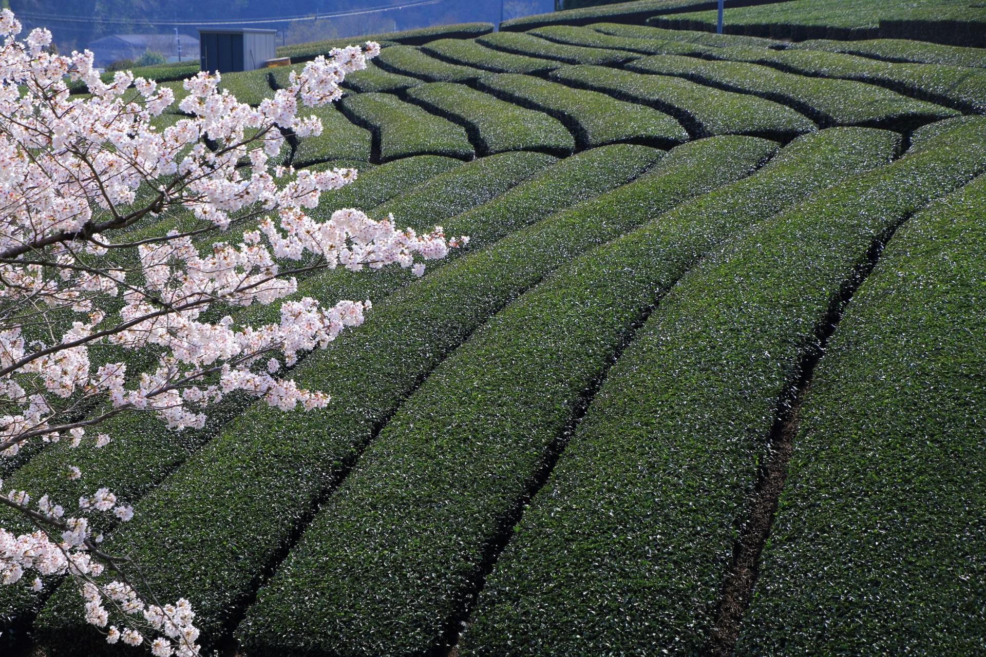 和束町の絶品の春色の風景
