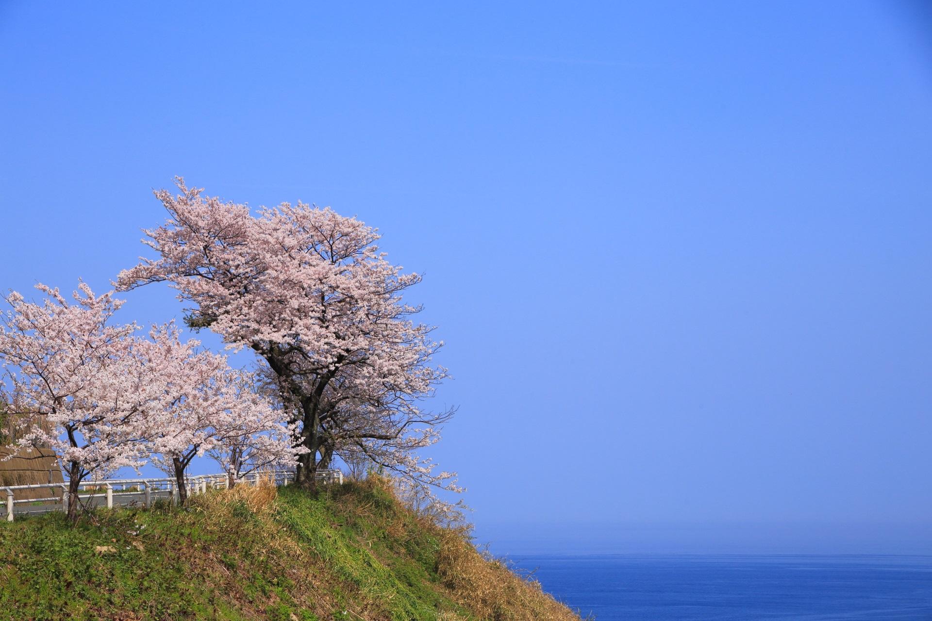 カマヤ海岸の何処までも続きそうな海と空の中で咲き誇る桜