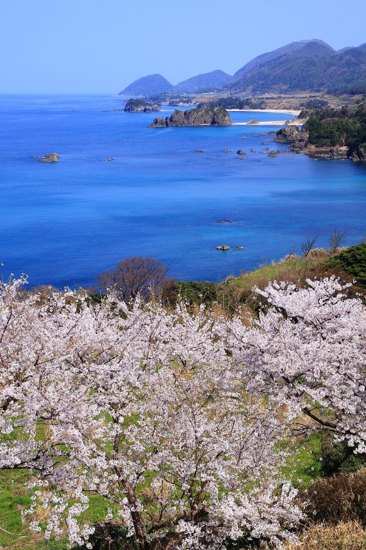 丹後松島の桜の絶景
