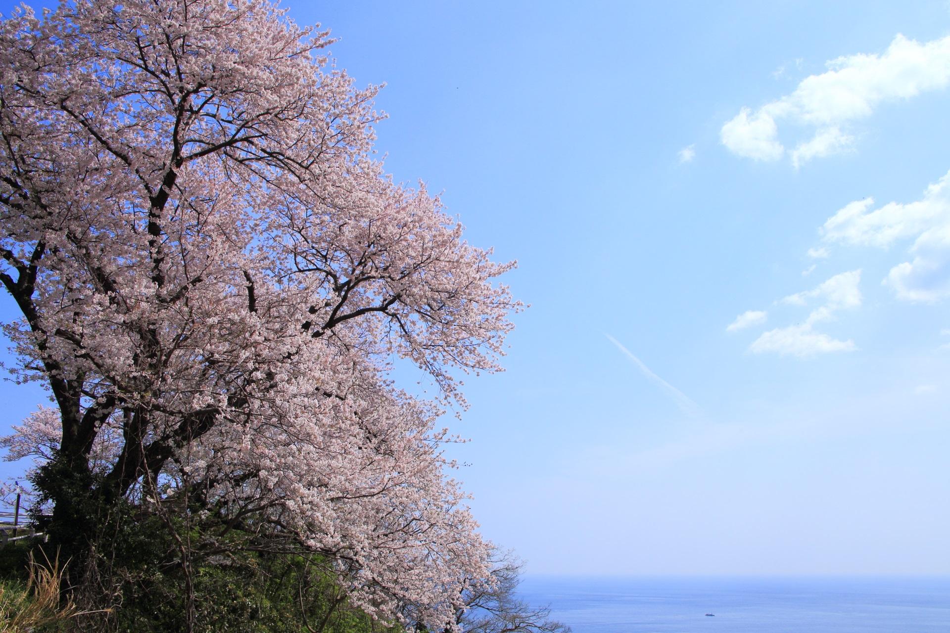 カマヤ海岸の見事な絵になる海の桜