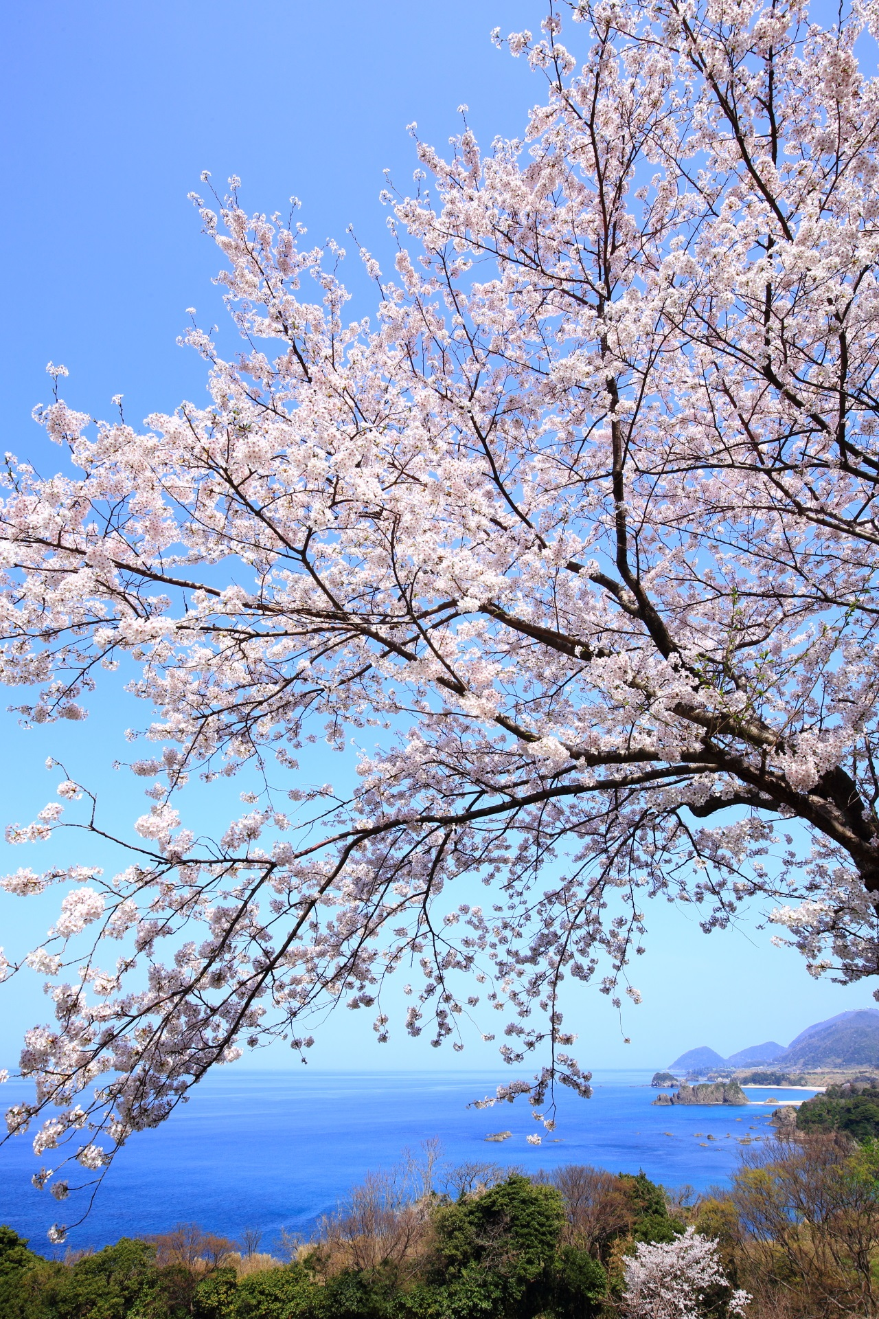 丹後松島 桜 高画質 写真