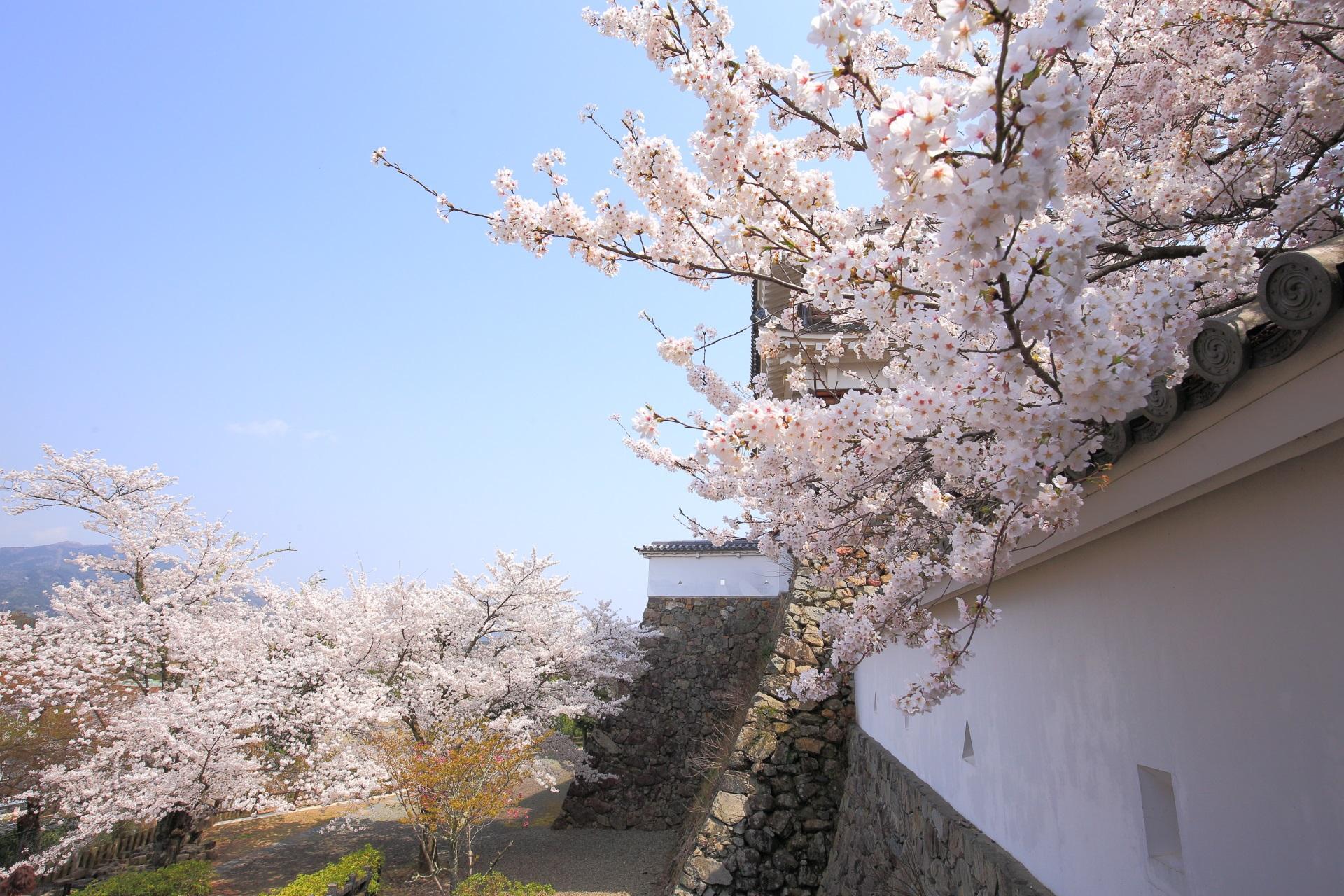 福知山城の城壁を華やぐ桜