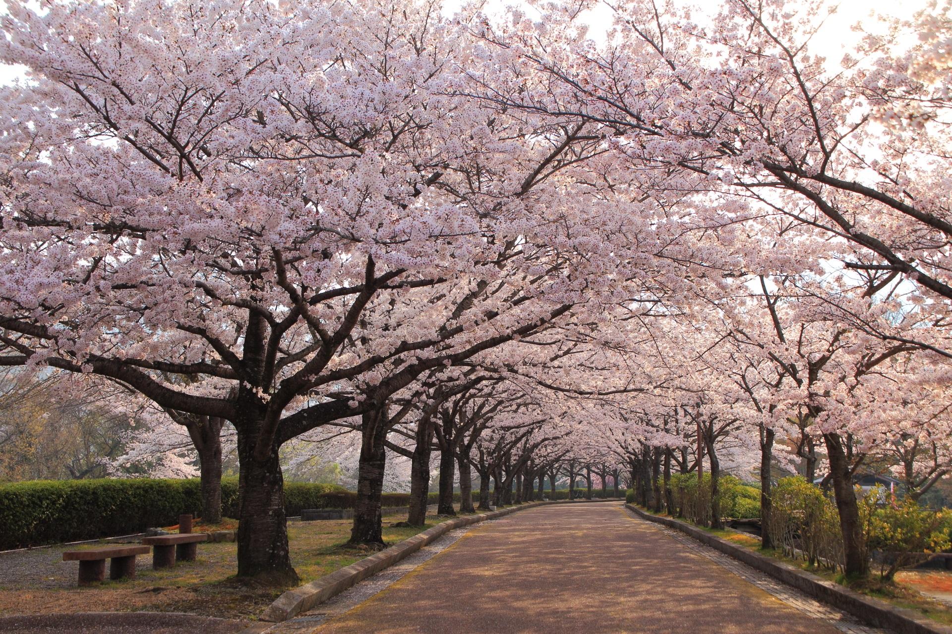 亀岡の桜の名所の和らぎの道