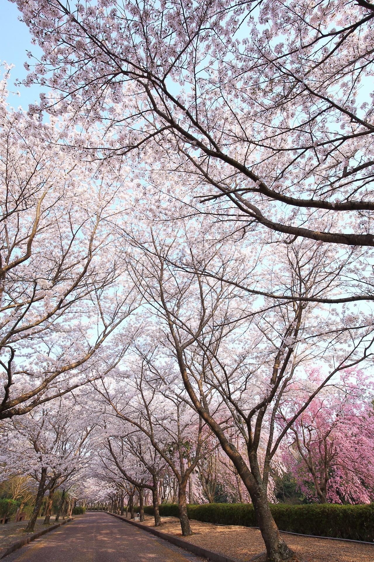 和らぎの道の圧巻の桜の天井