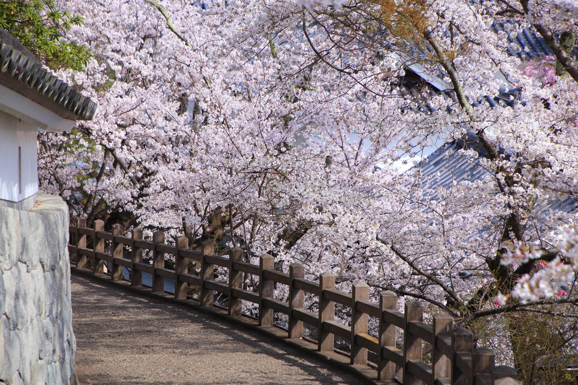 福知山城の絵になる桜