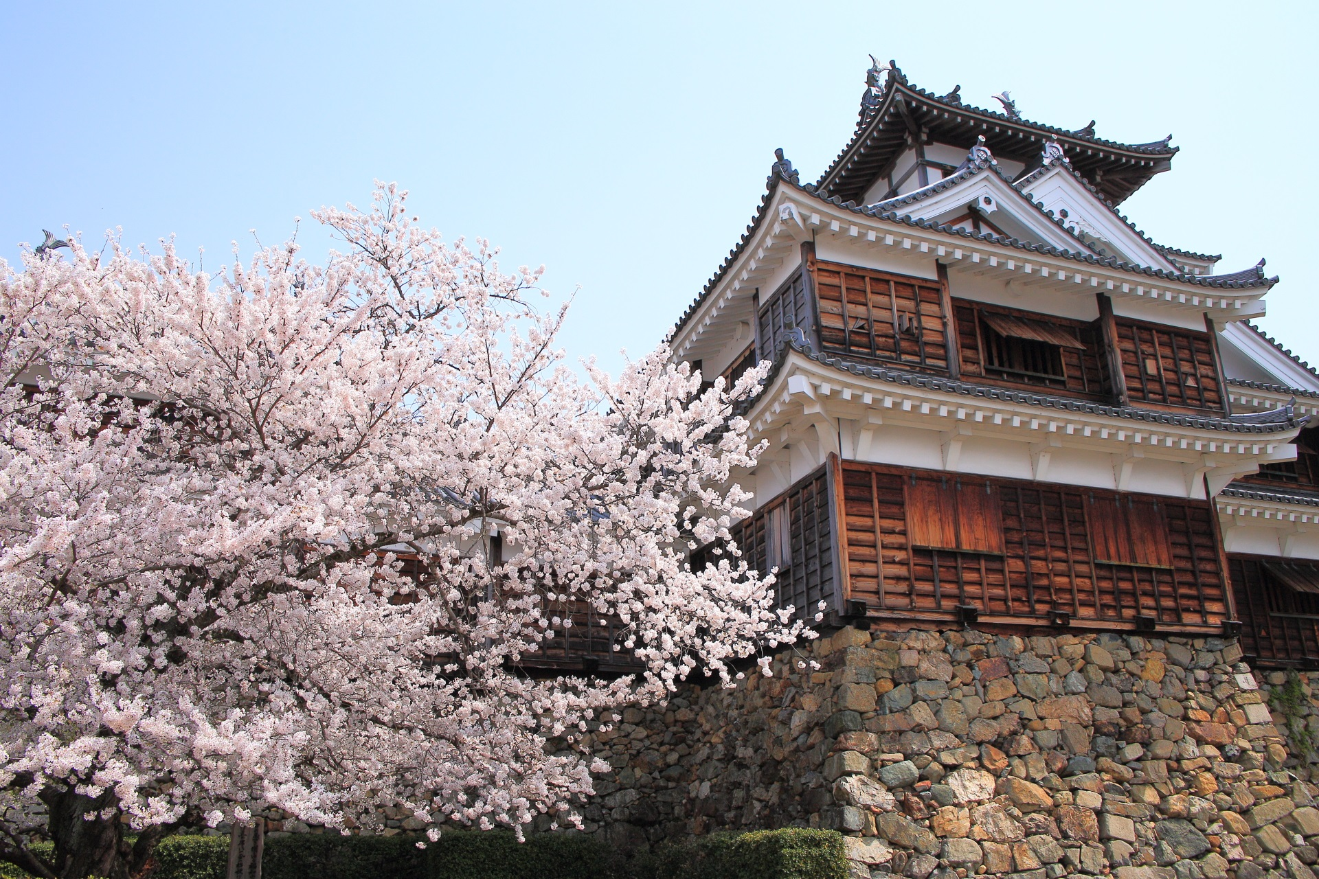 下から見上げた福知山城天守閣と桜