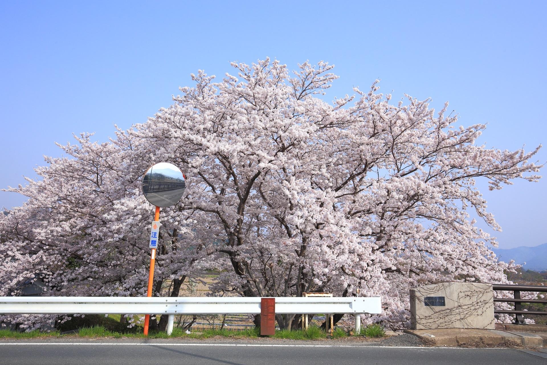 千代川駅近くの桂川傍らで煌びやかに咲き誇る桜