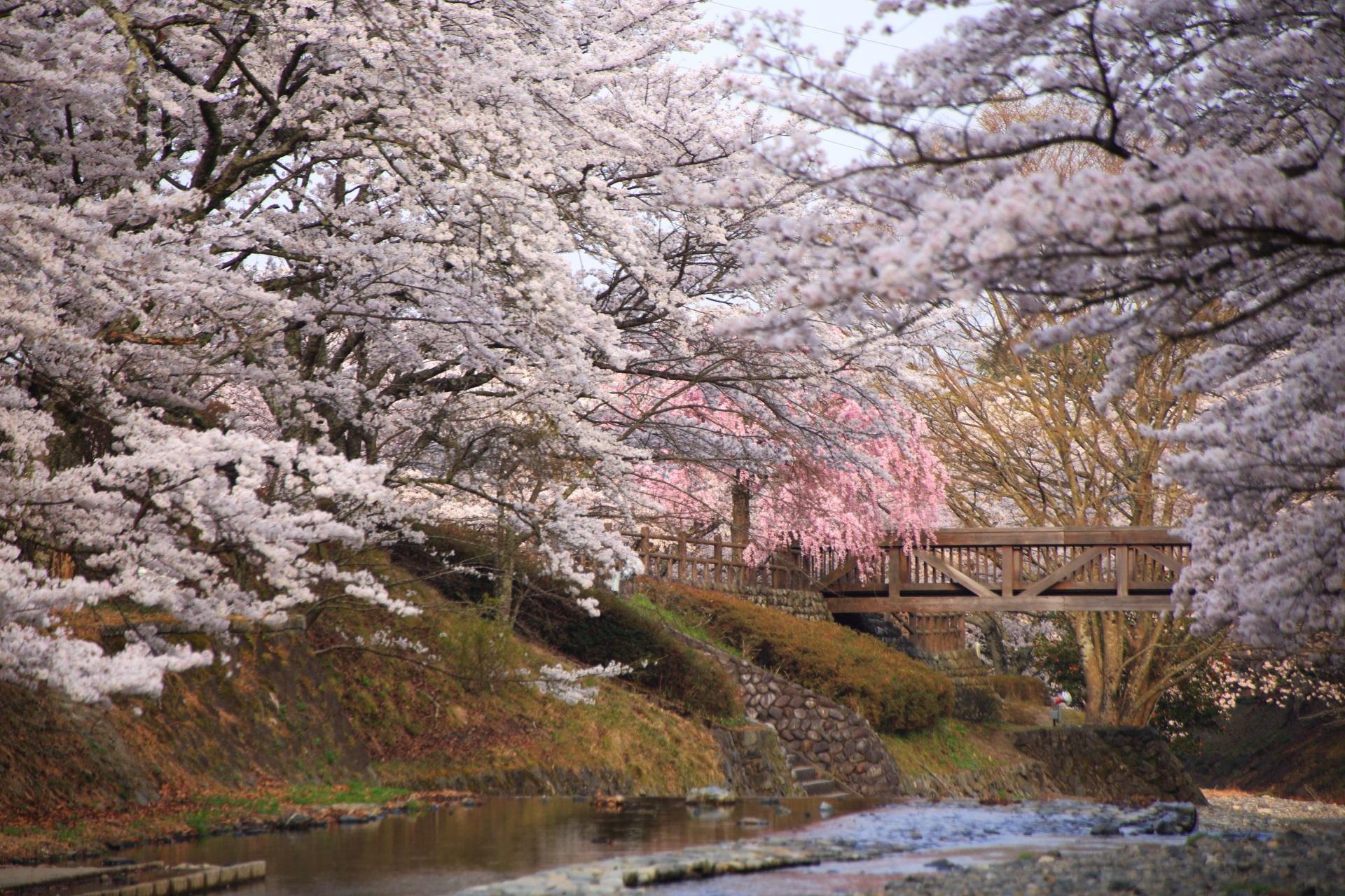 七谷川の水辺を華やぐ弾けんばかりの桜