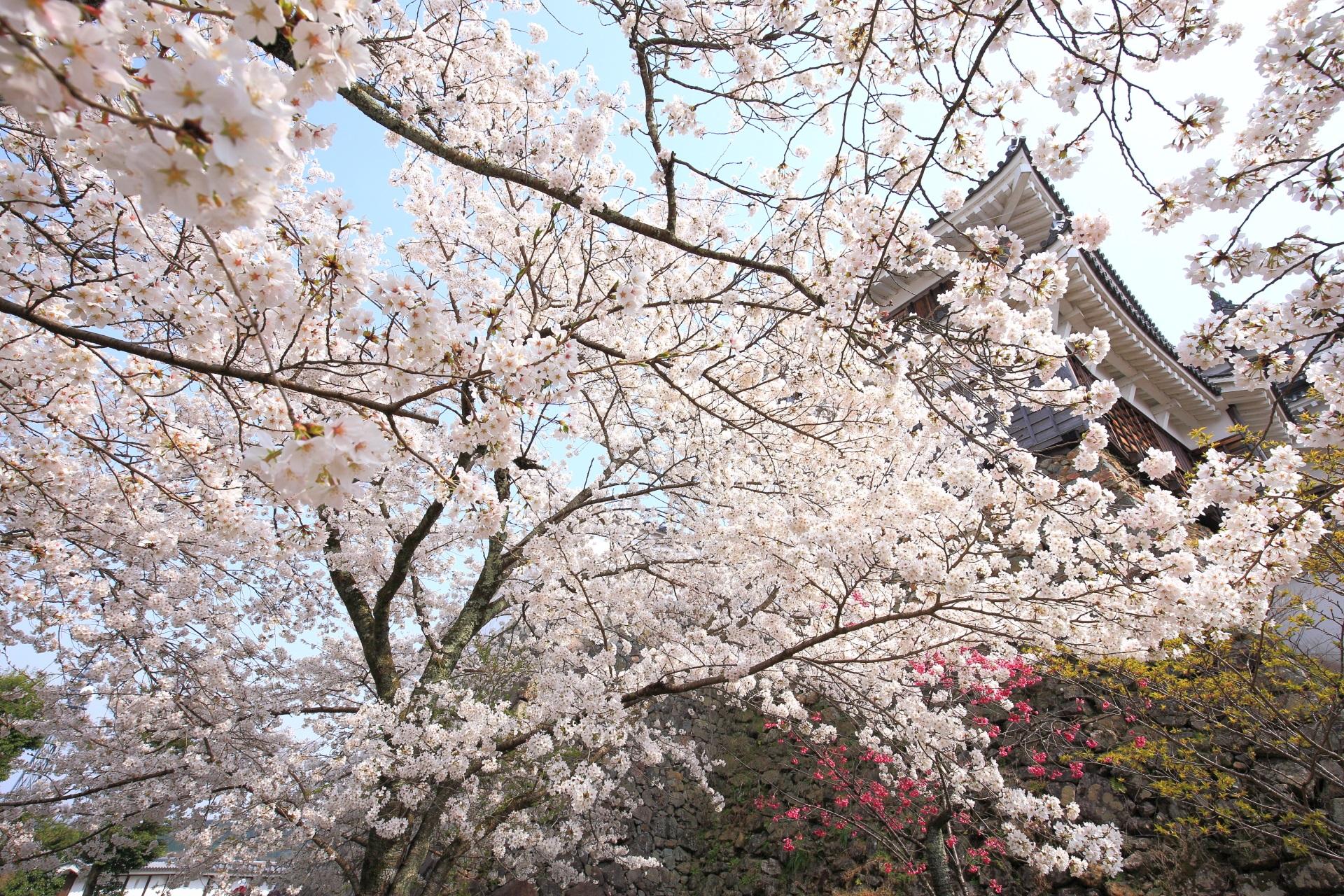 福知山城の豪快な桜につつまれる天守と石垣