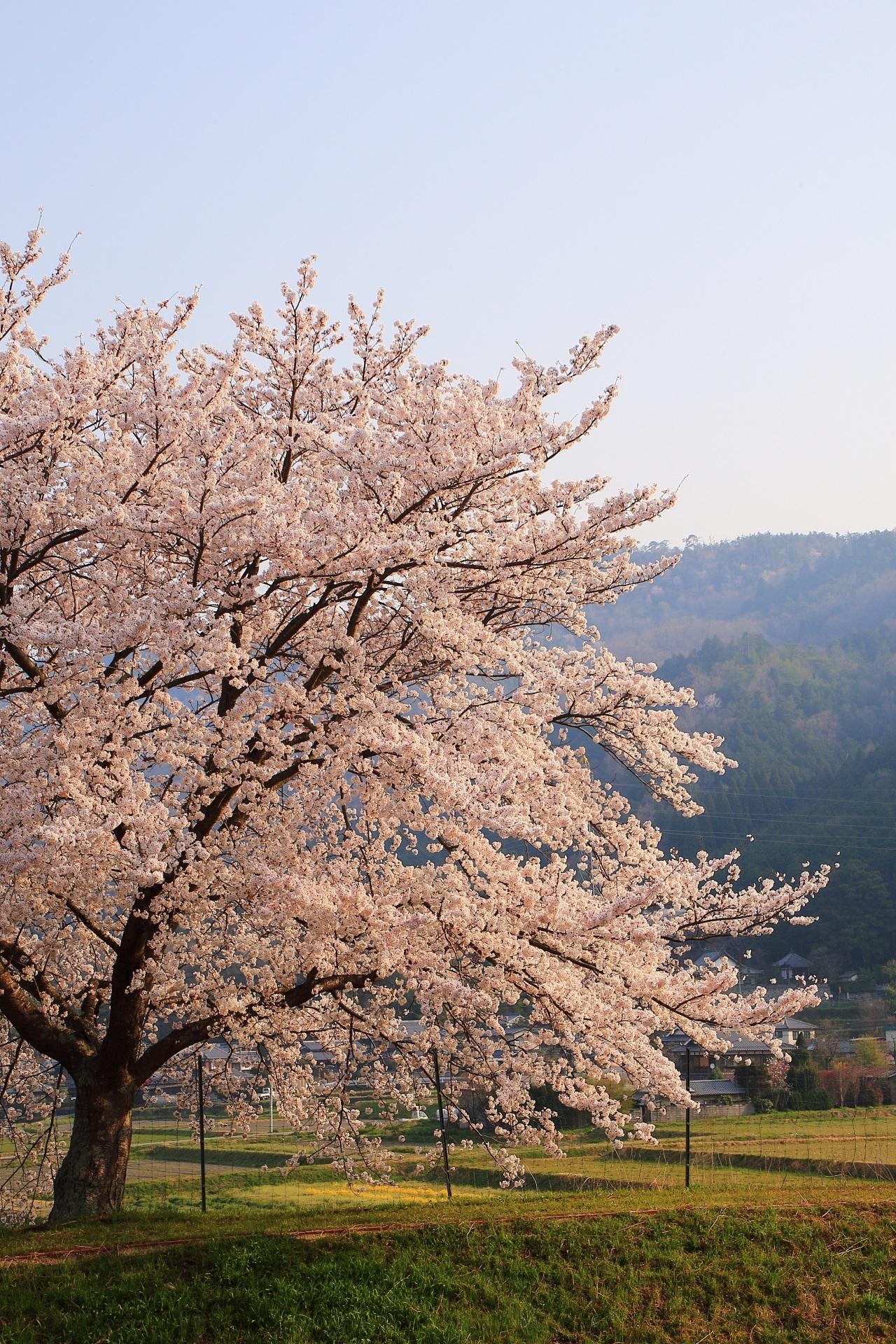 高画質 亀岡 一本桜 写真