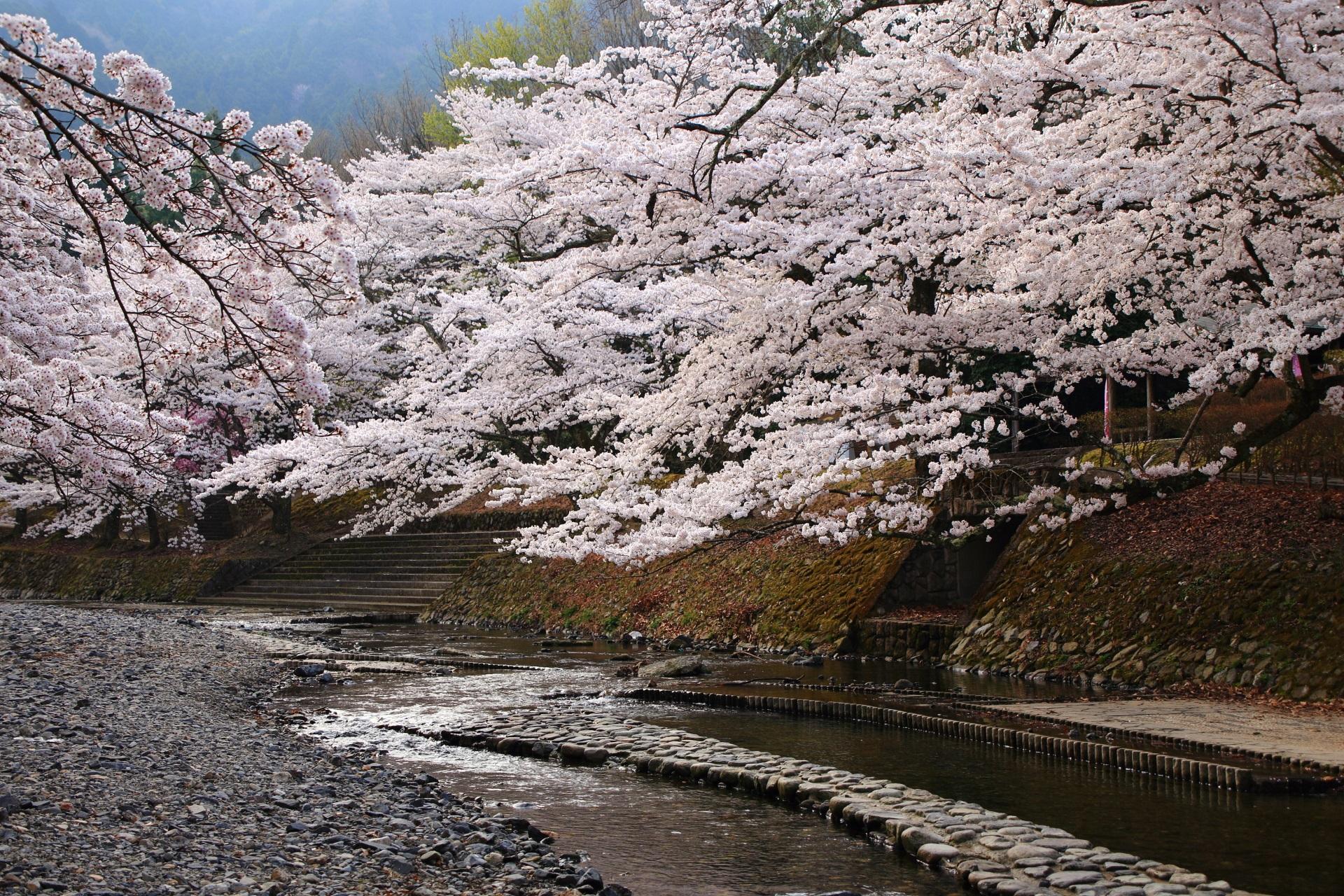 七谷川の圧倒的な桜