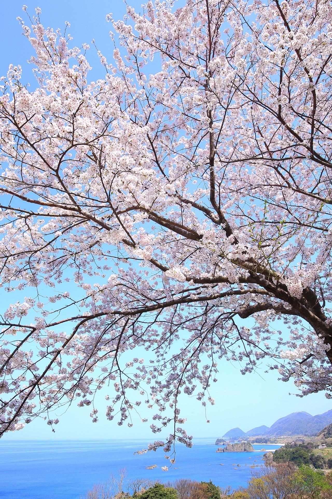 丹後松島の素晴らしすぎる桜と海や春の情景