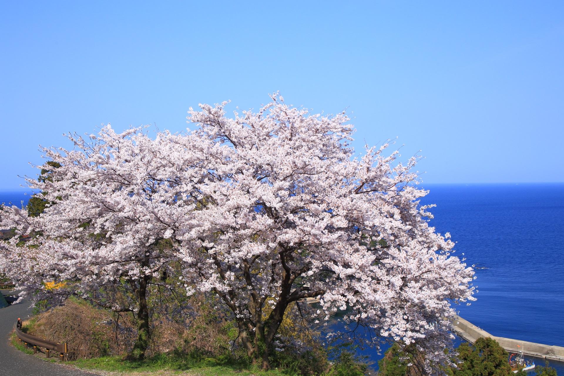 高画質 のろせ海岸 桜 写真