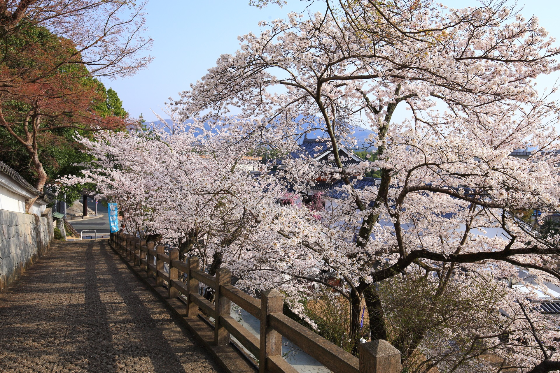 福知山城東側の登城道(登城路)の桜
