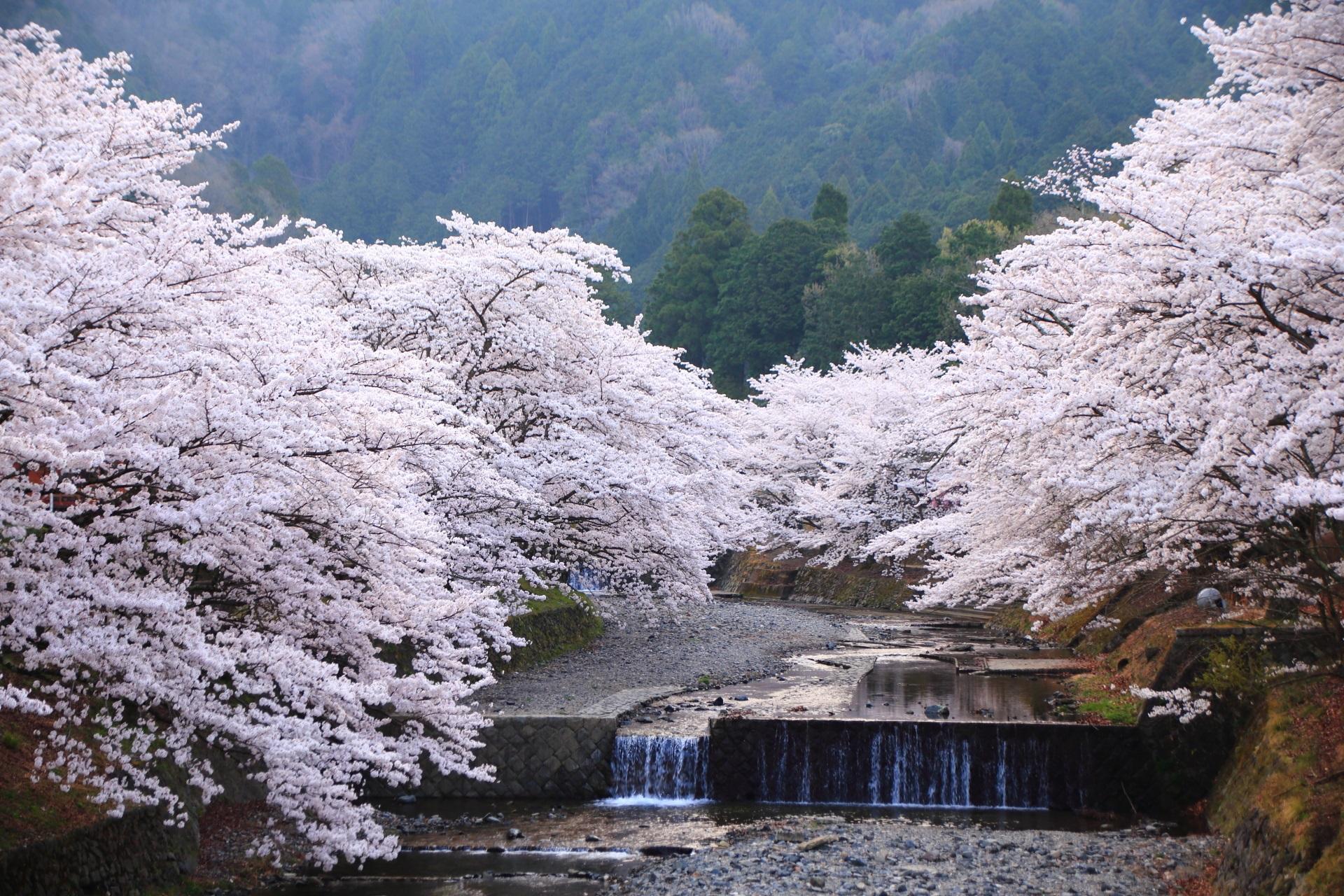 高画質 七谷川 桜 写真