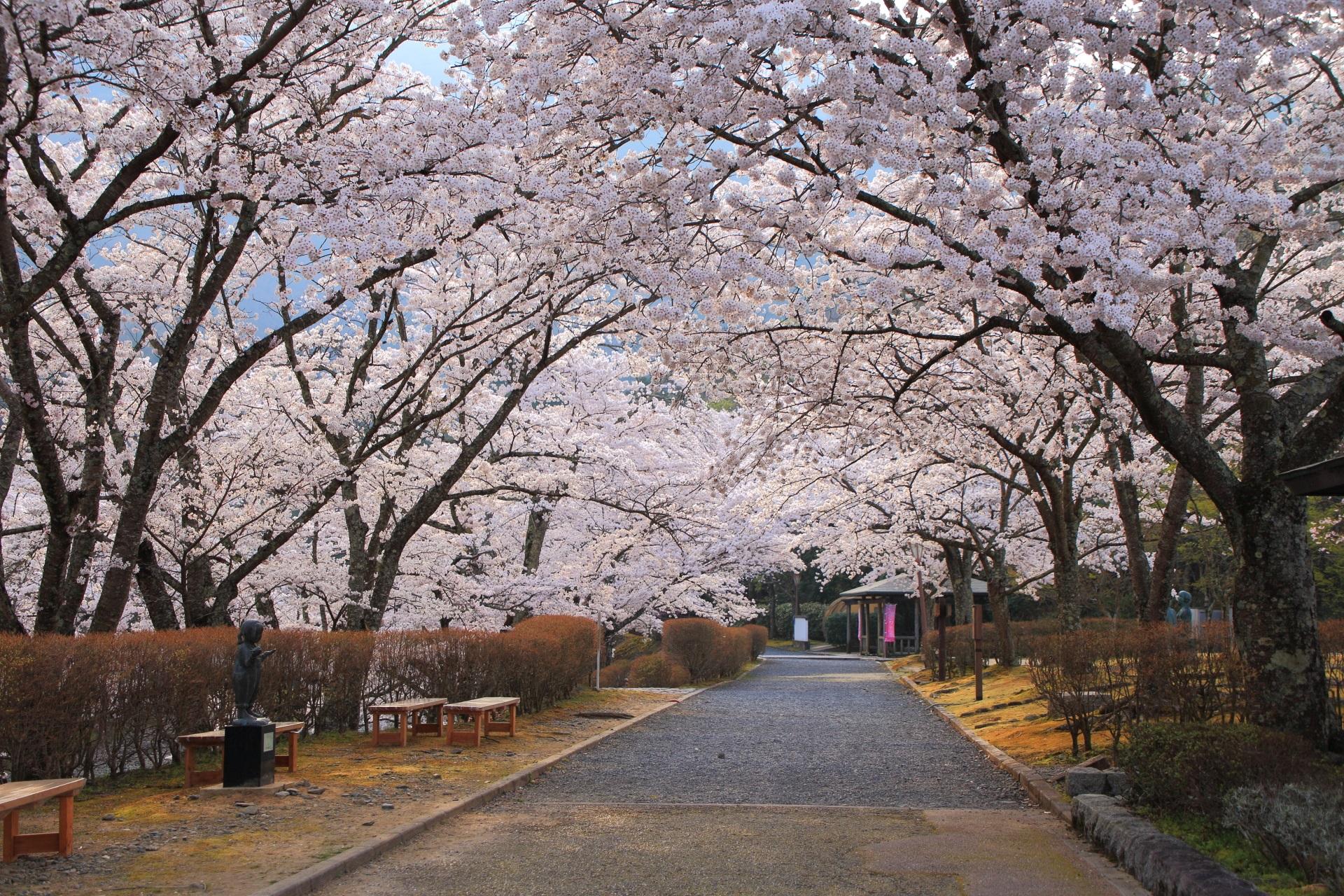 約1キロほど続く和らぎの道の満開の桜