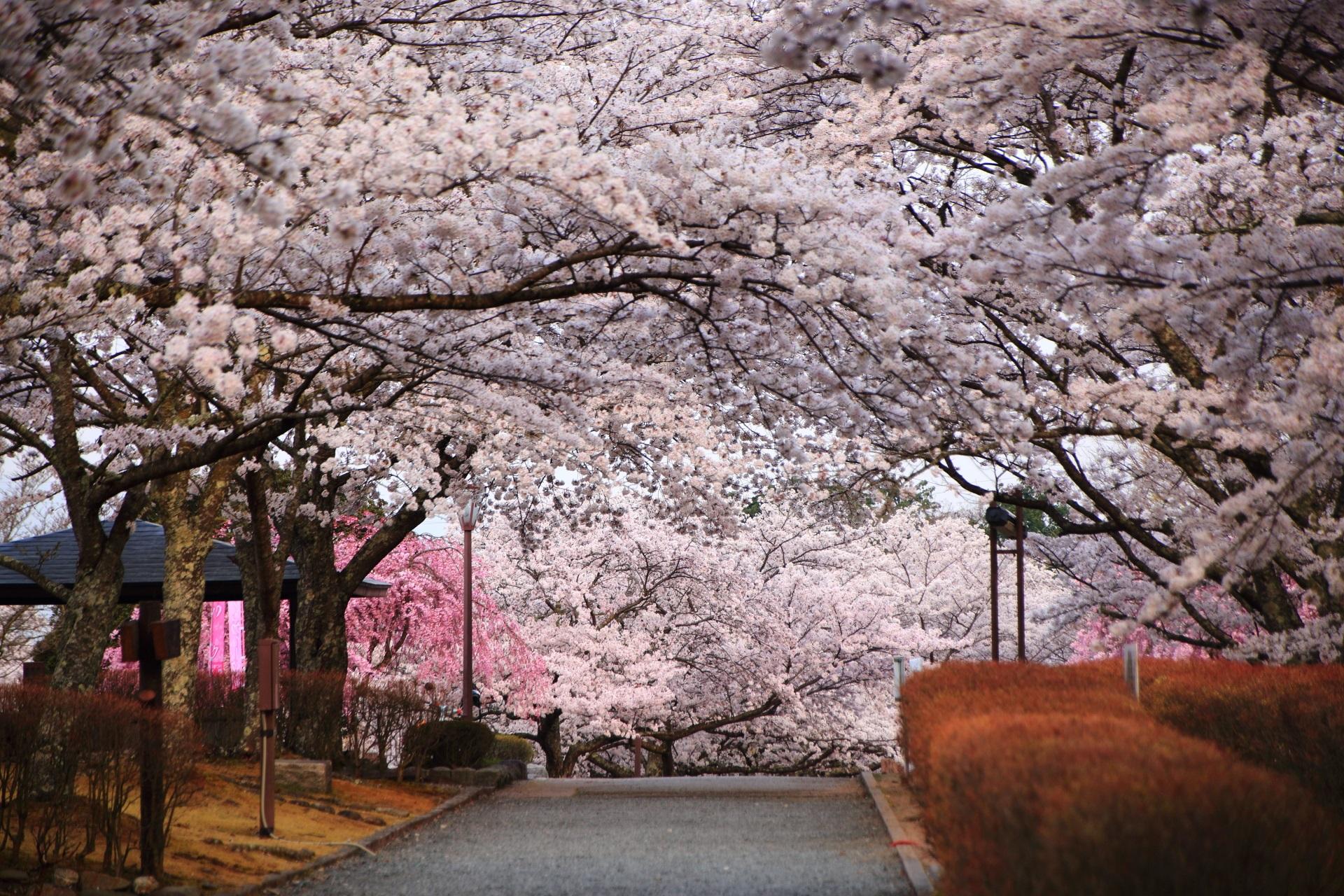 和らぎの道の咲き誇る桜