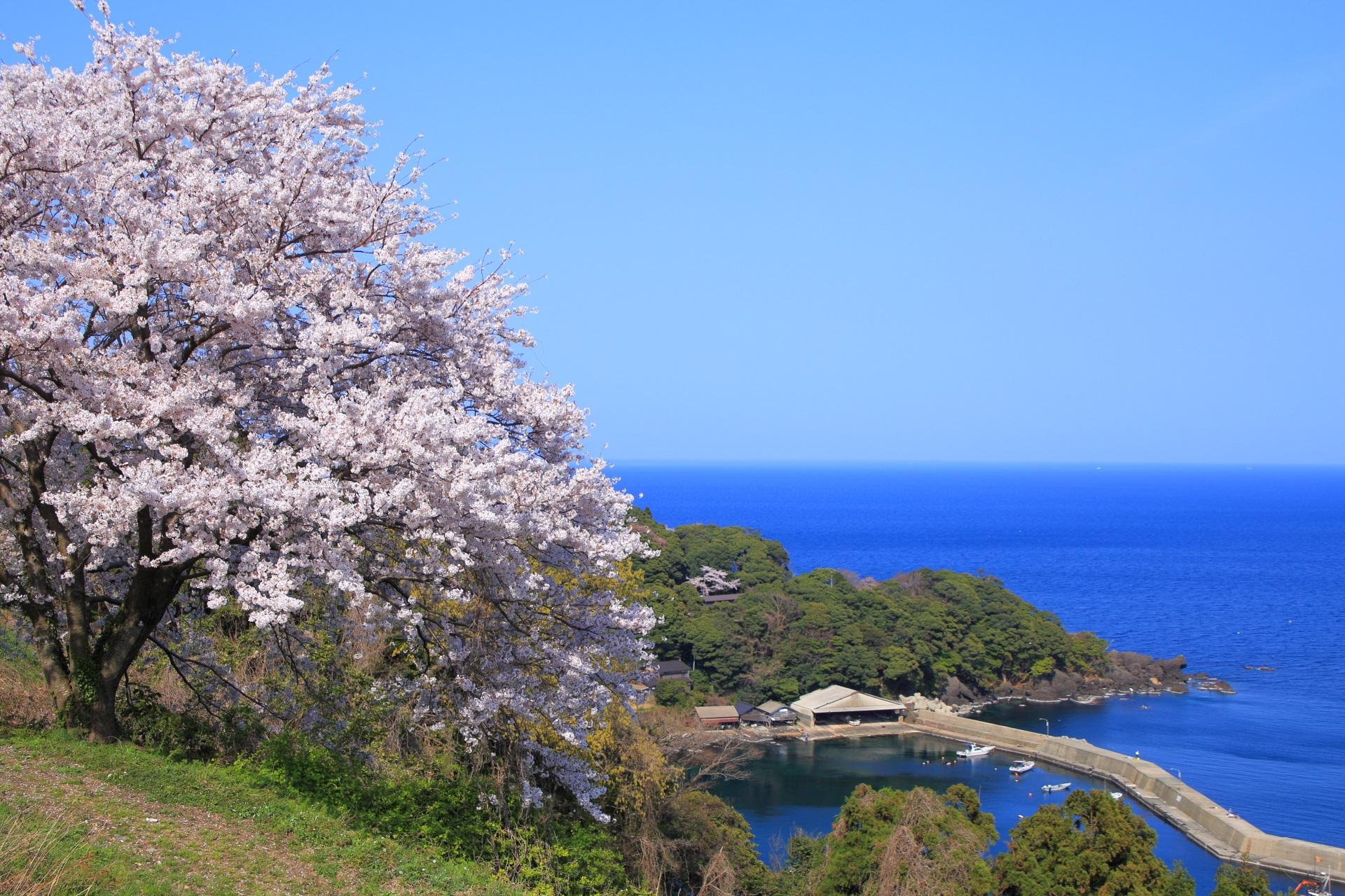 新井崎の桜