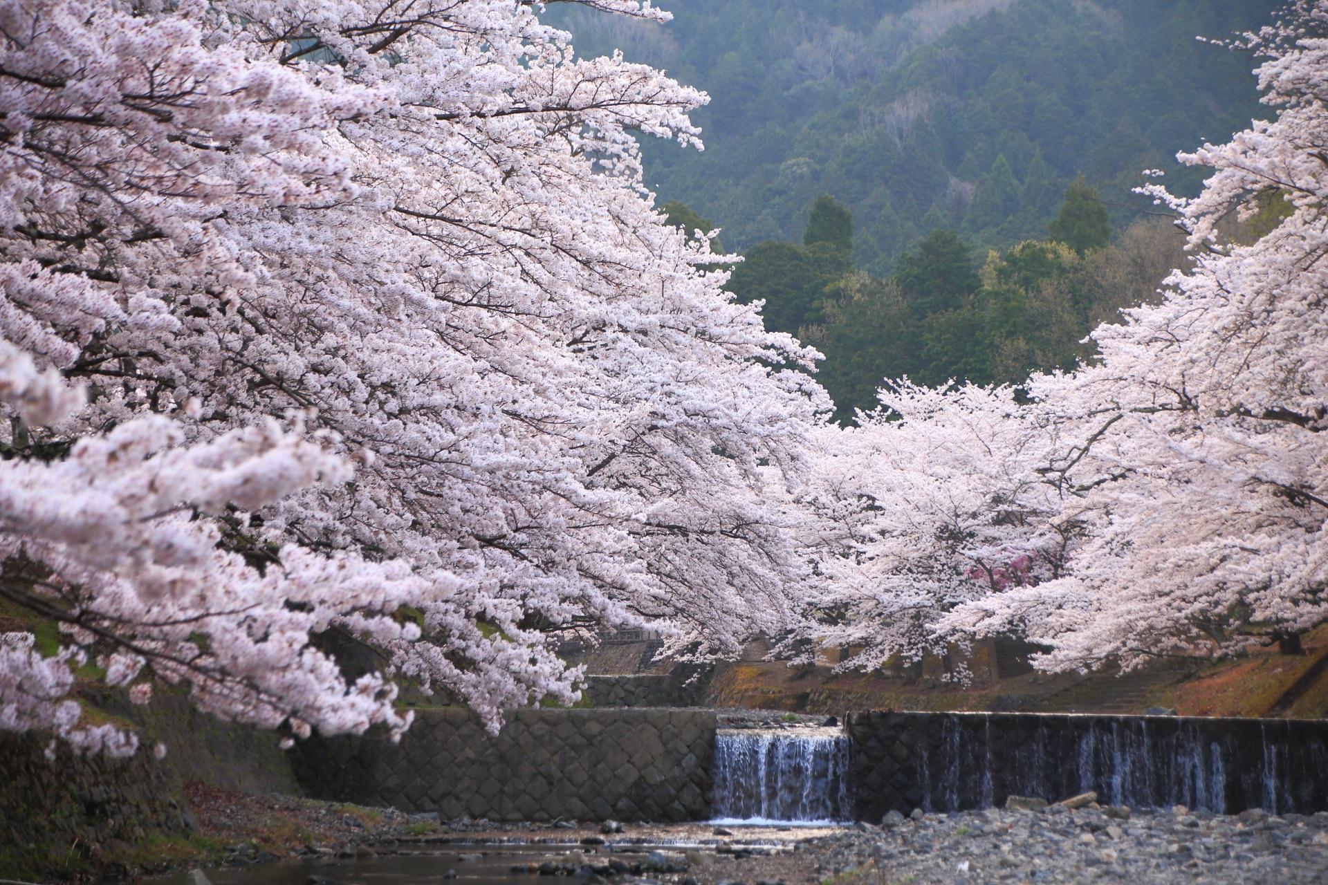 美しすぎる桜につつまれる春の七谷川