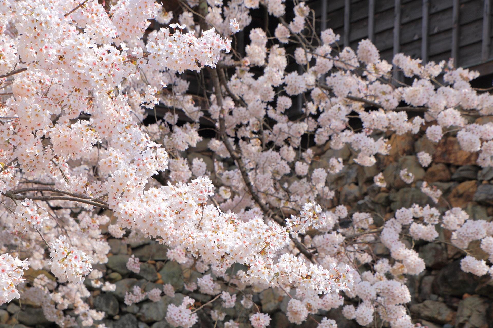 福知山城の弾ける桜