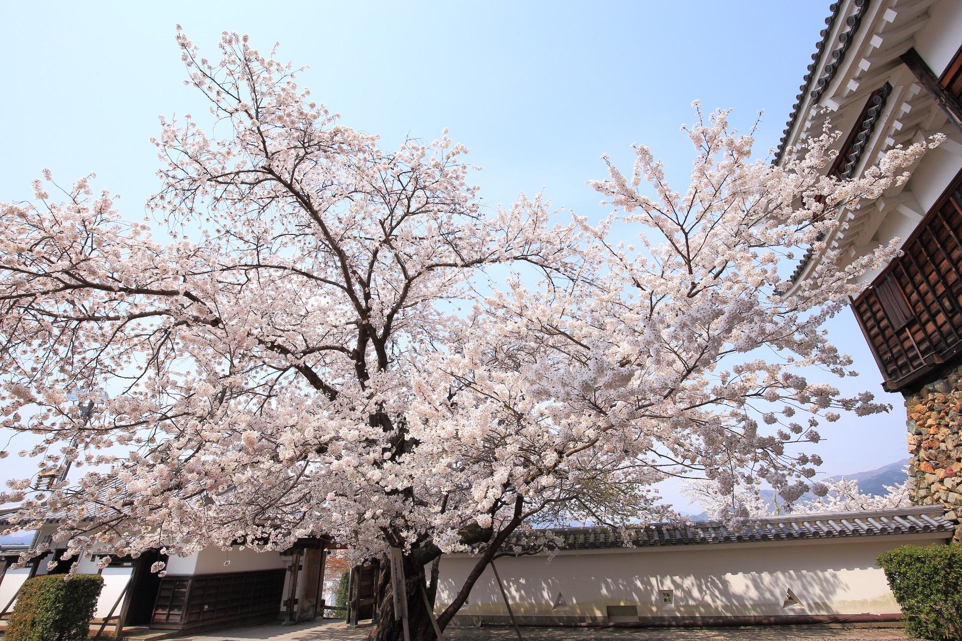 福知山城の小天守と桜